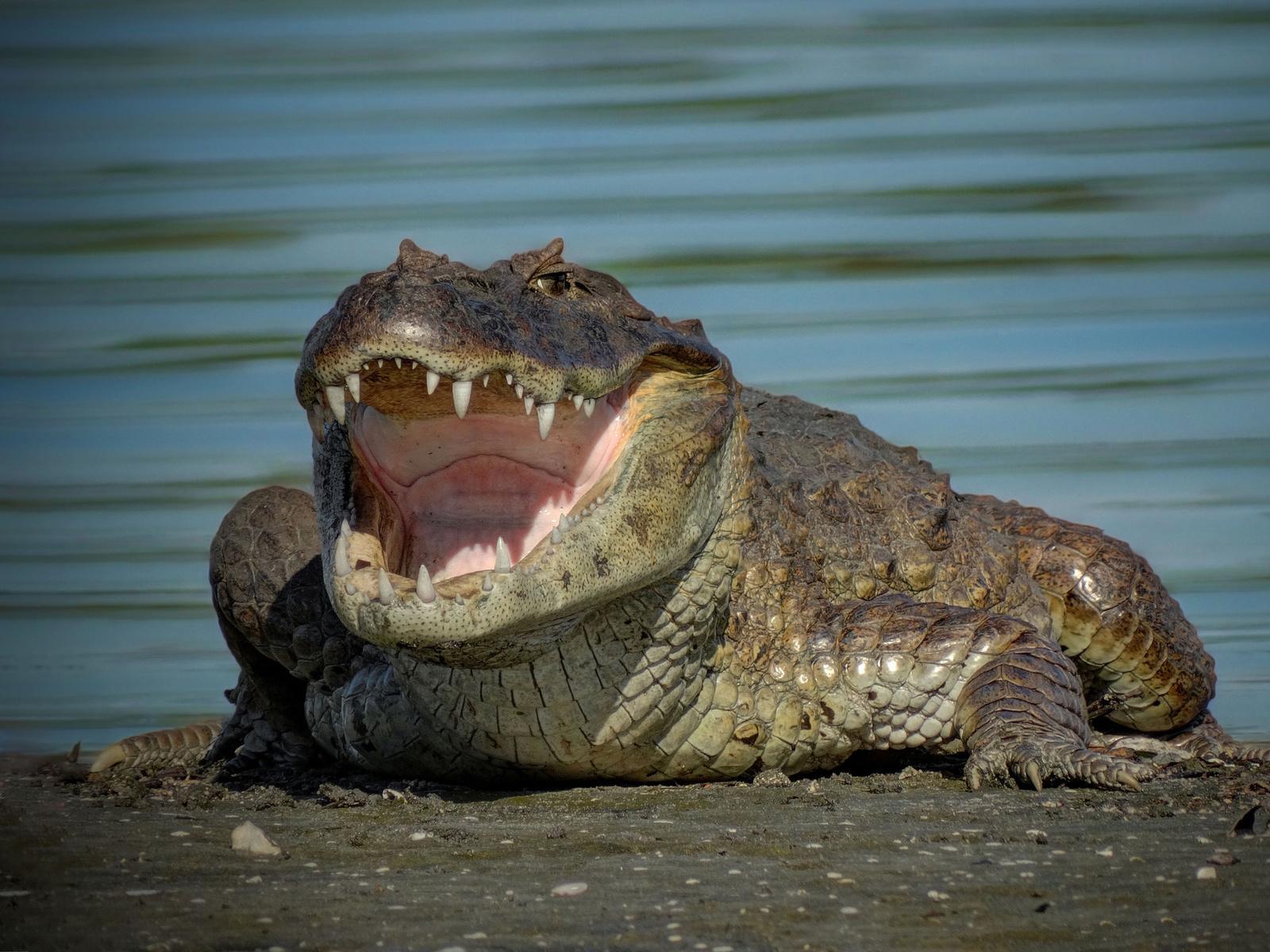 крокодил, пасть, зубы