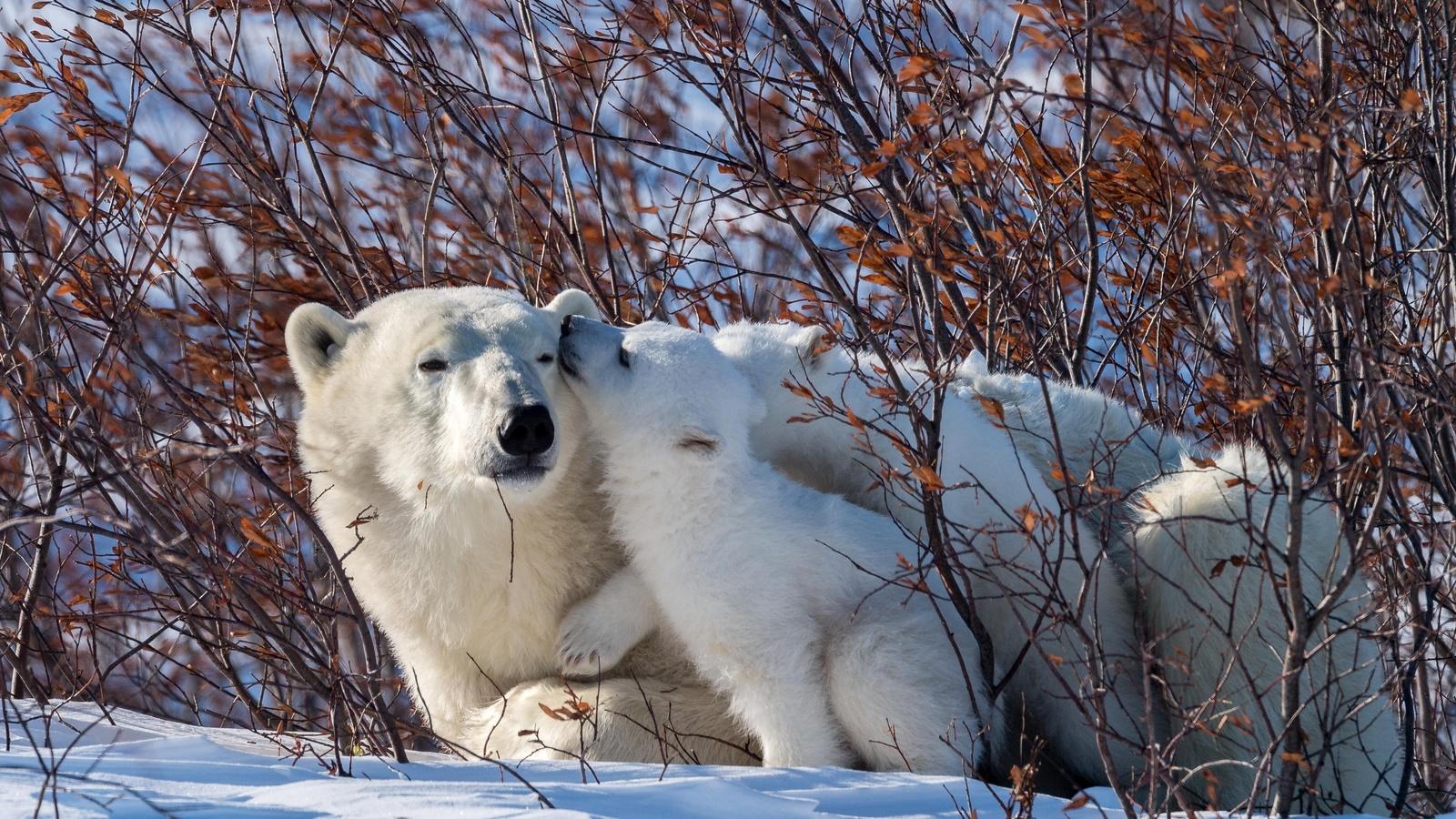 зима, животные, снег, природа, хищники, медведи, медвежонок, детёныш, кусты, белые медведи, медведица