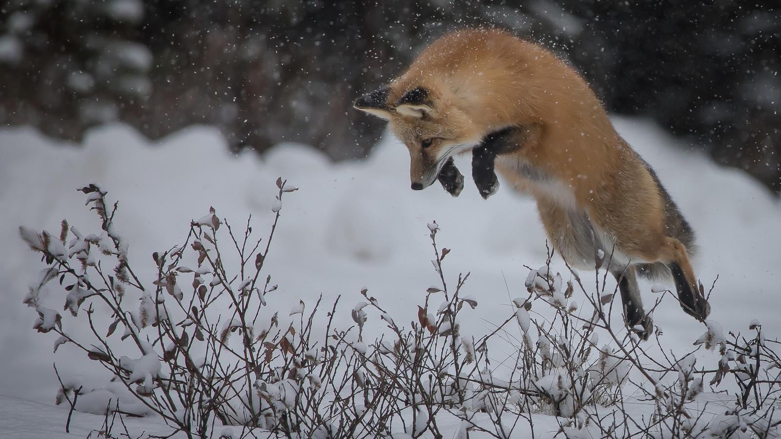 лиса, зима, снег, прыжок, животные