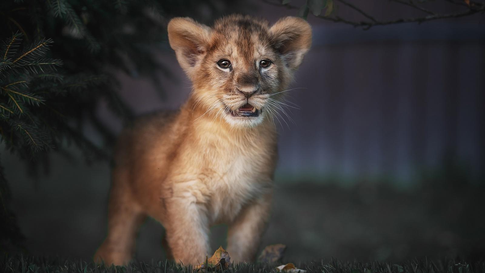 природа, животное, хищник, львёнок, детёныш, ветки, хвоя, трава, листья