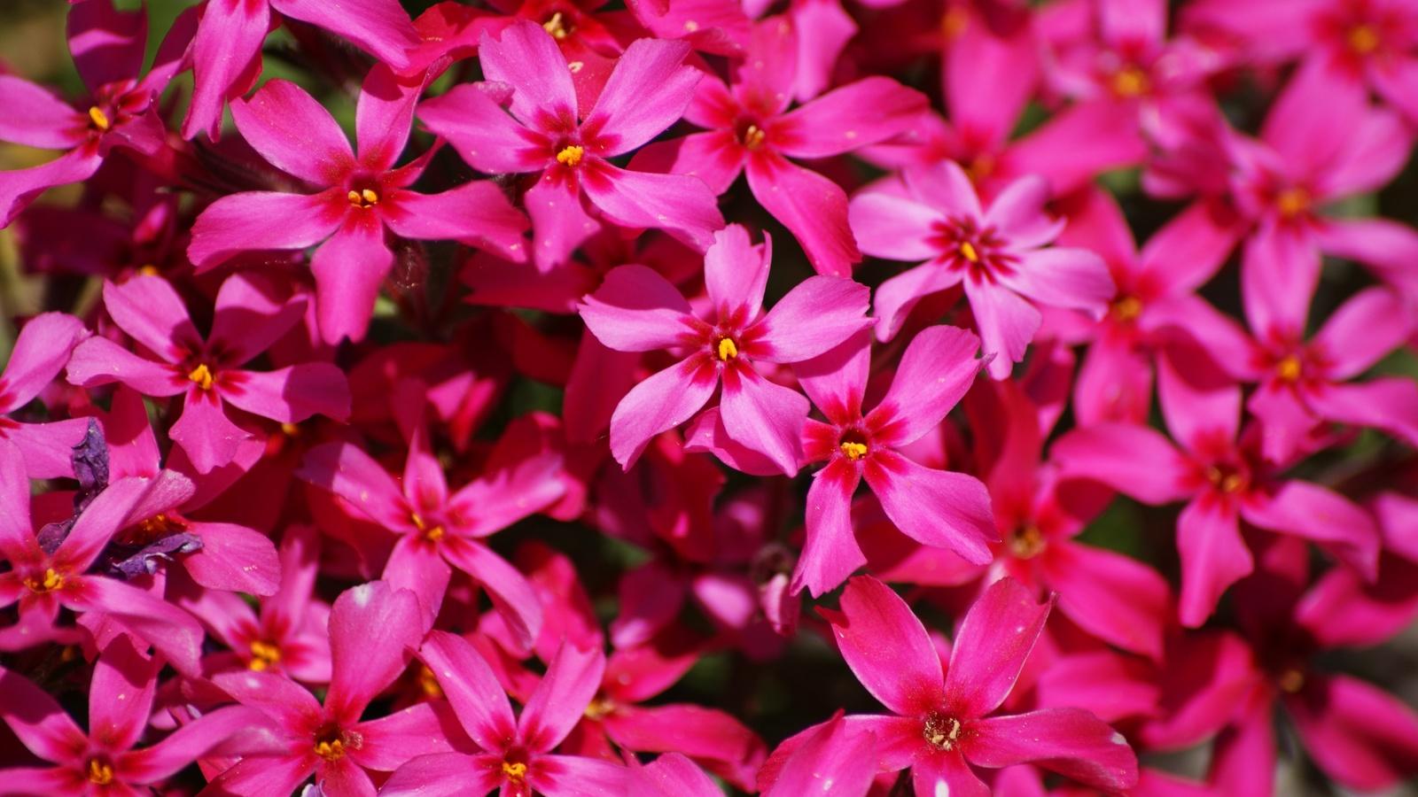 флокс, много, розовый