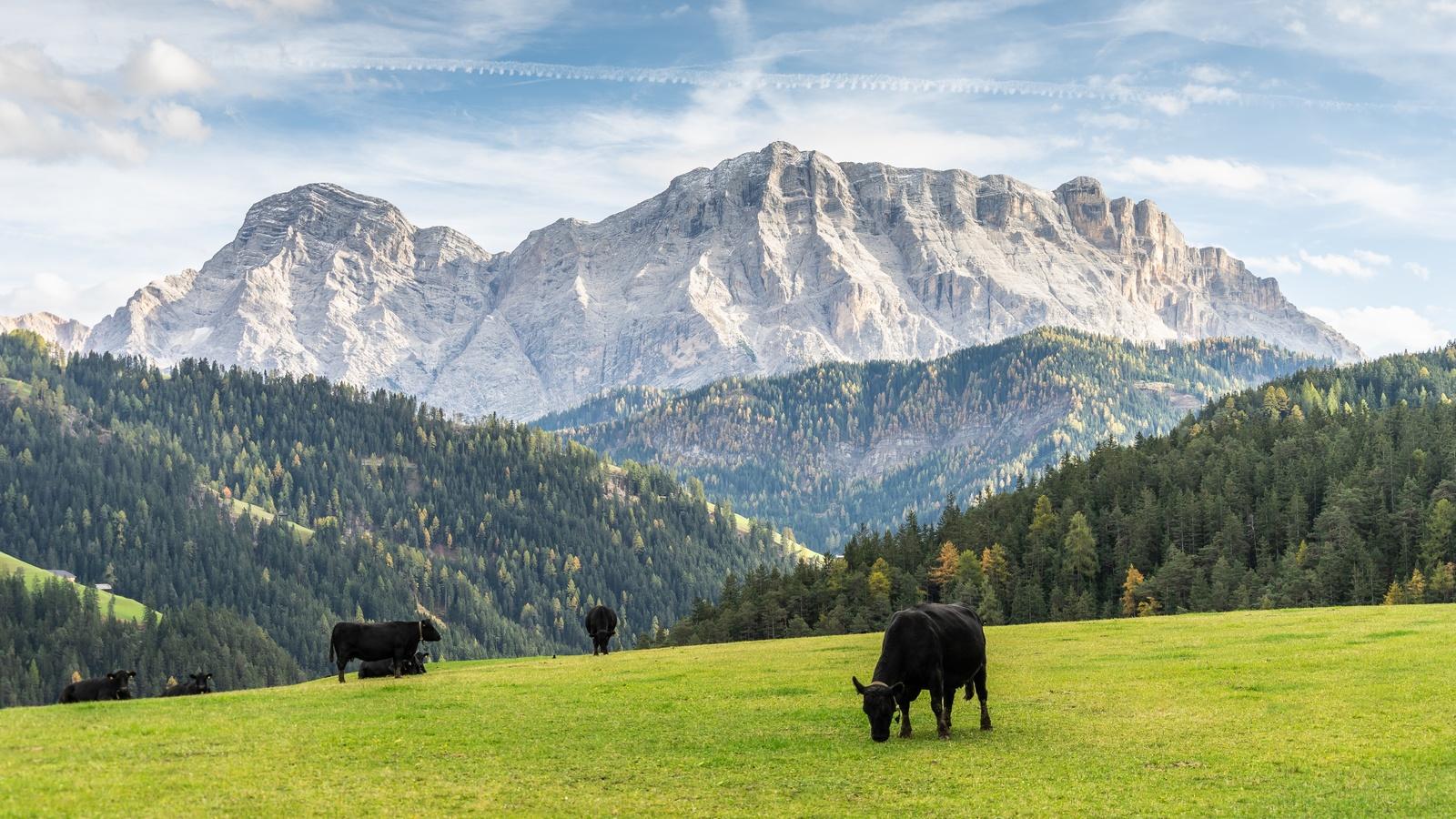 луга, горы, коровы