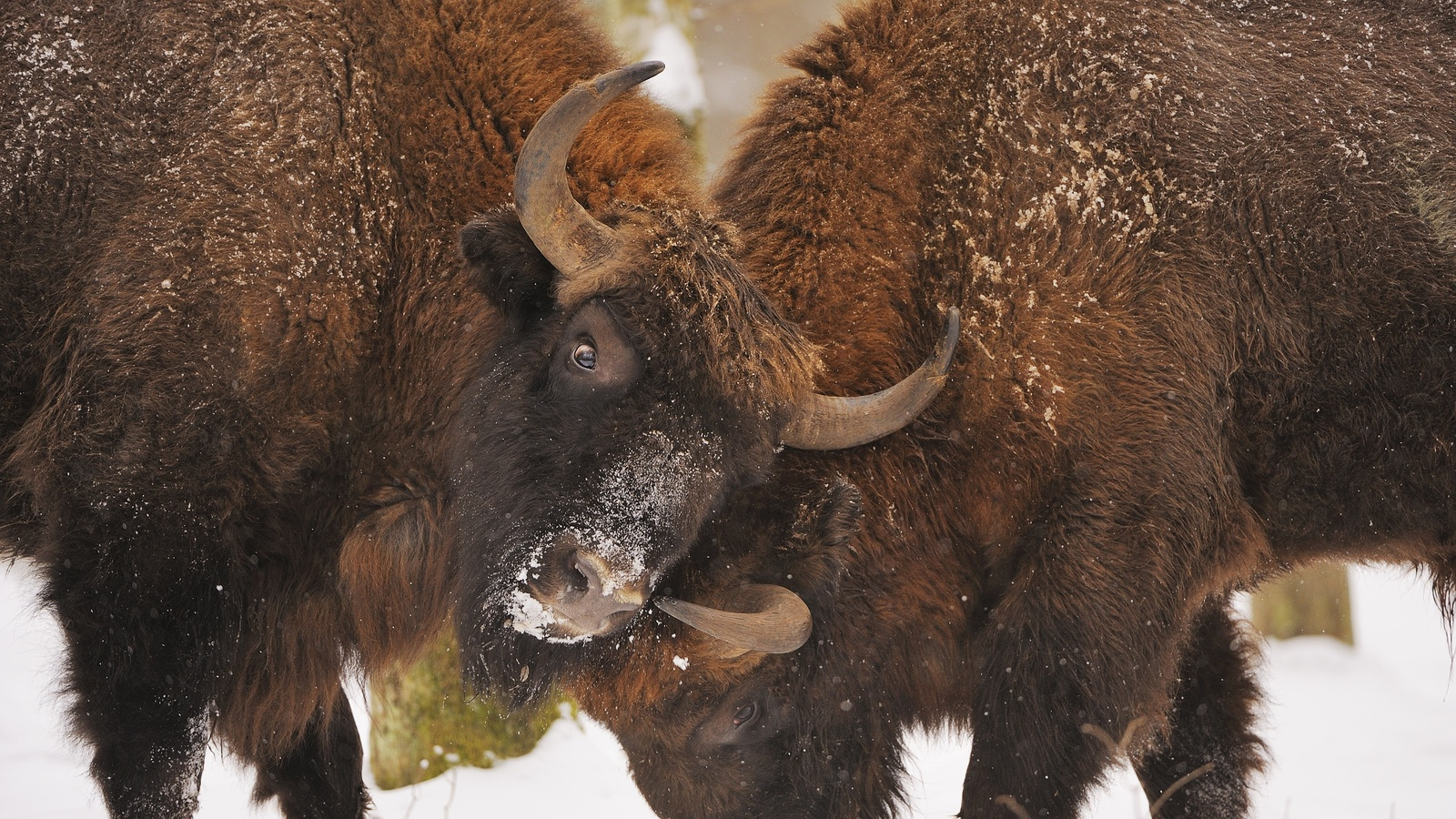 бой, буйволов