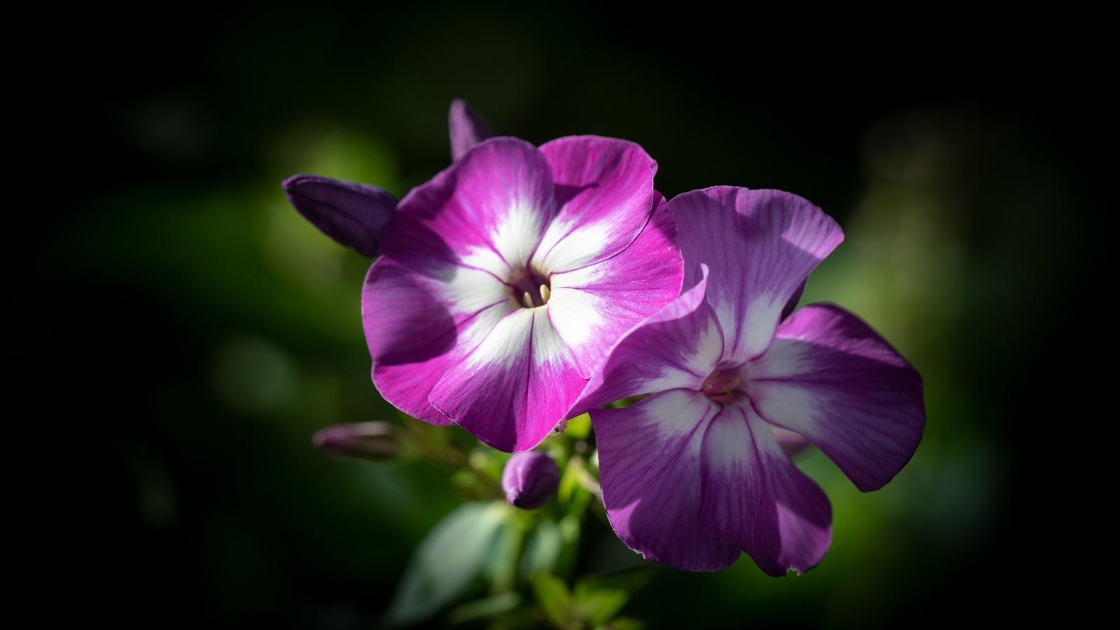 цветы, флоксы