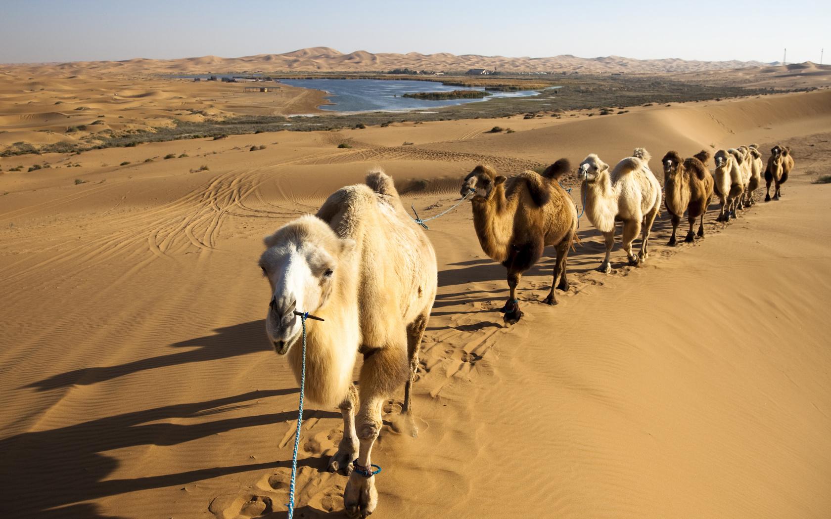 пустыня, верблюды, caravan, песок, животные, природа