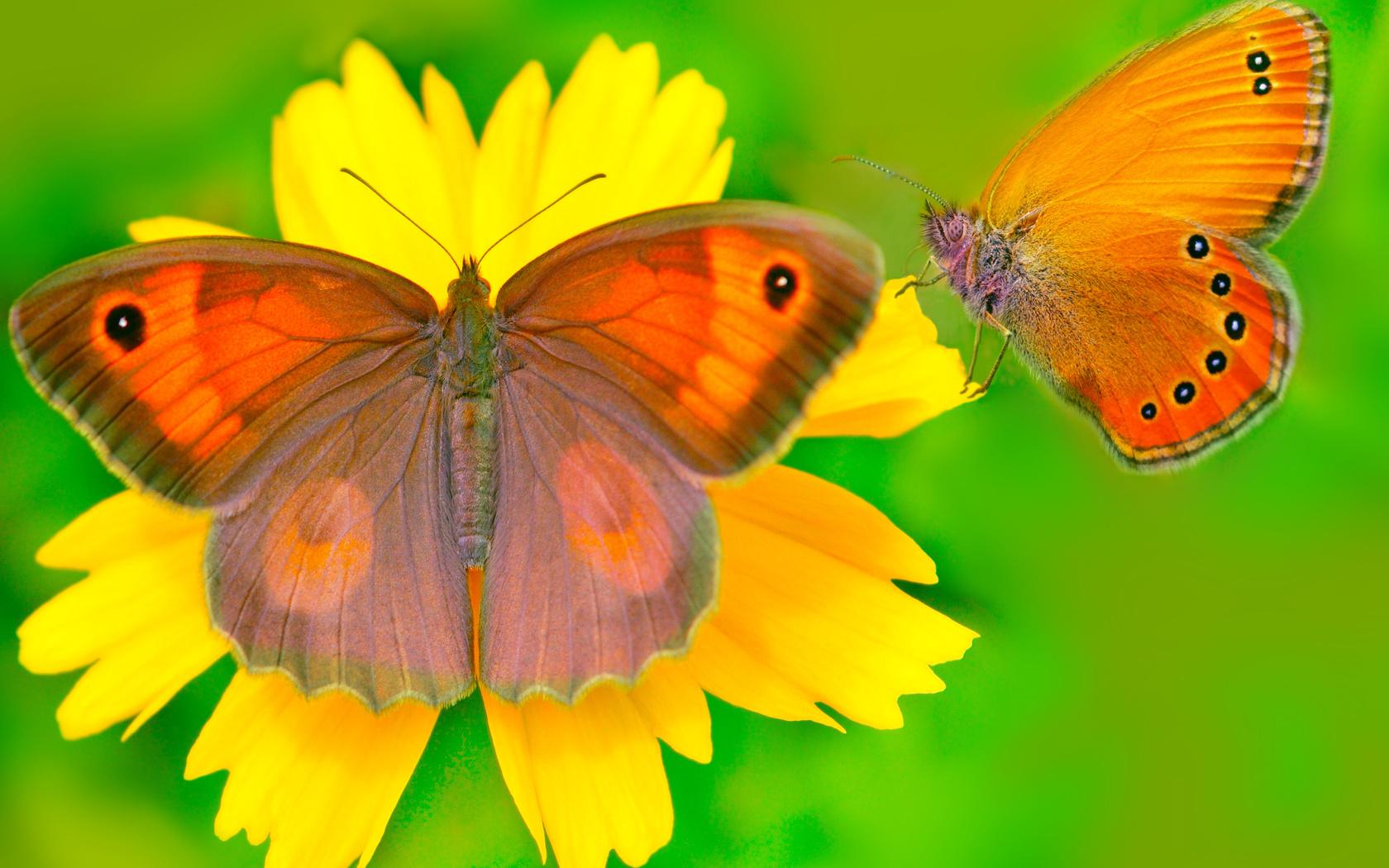 бабочки, цветок, фон