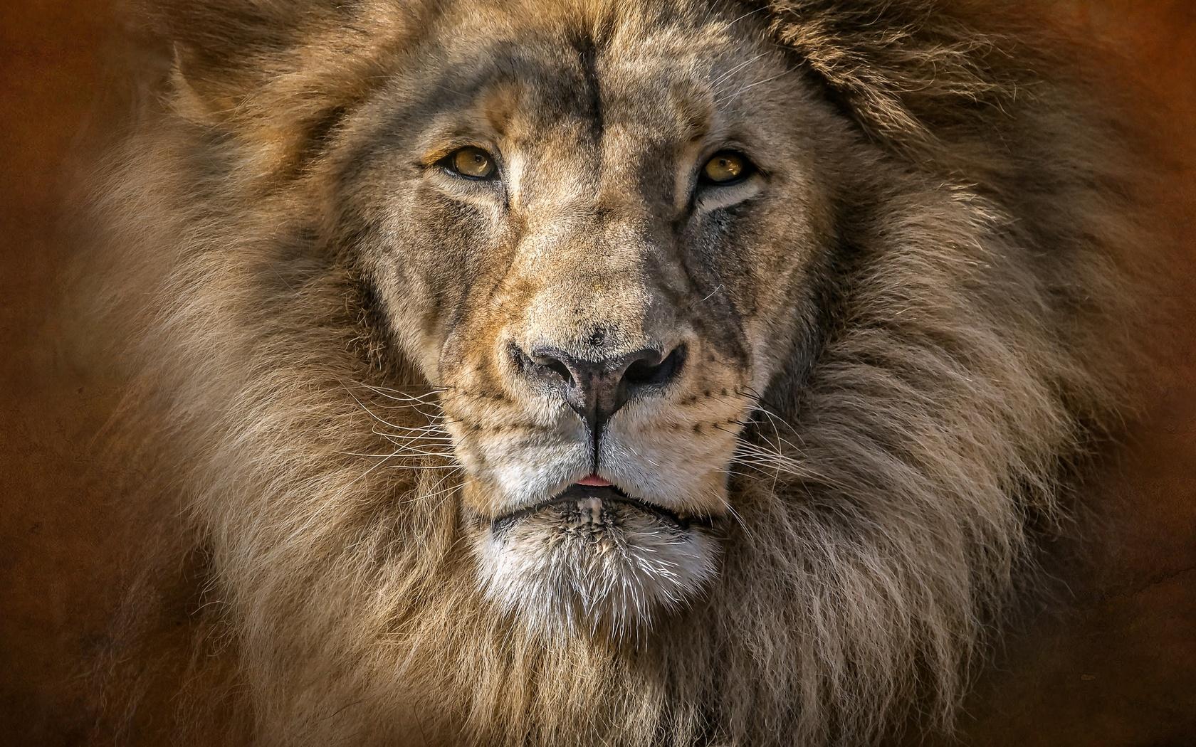 лев, вблизи, смотрит