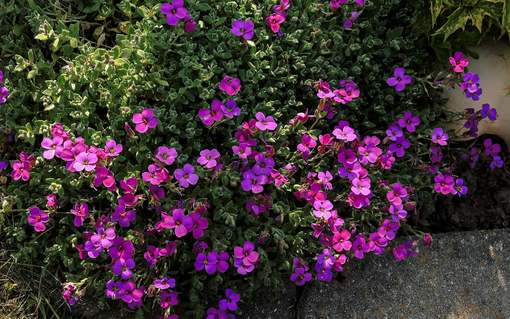 aubretia, фиолетовый, цветы