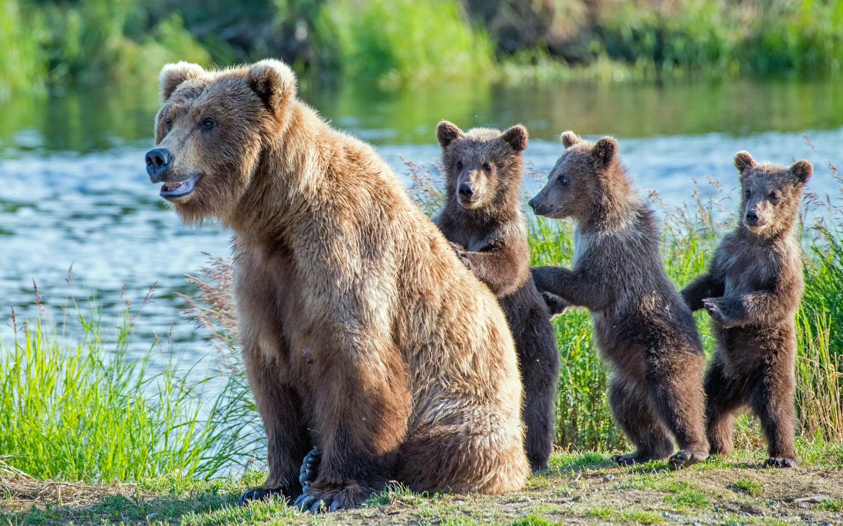 животное, бурая медведица, лес, медвежата, детёныши