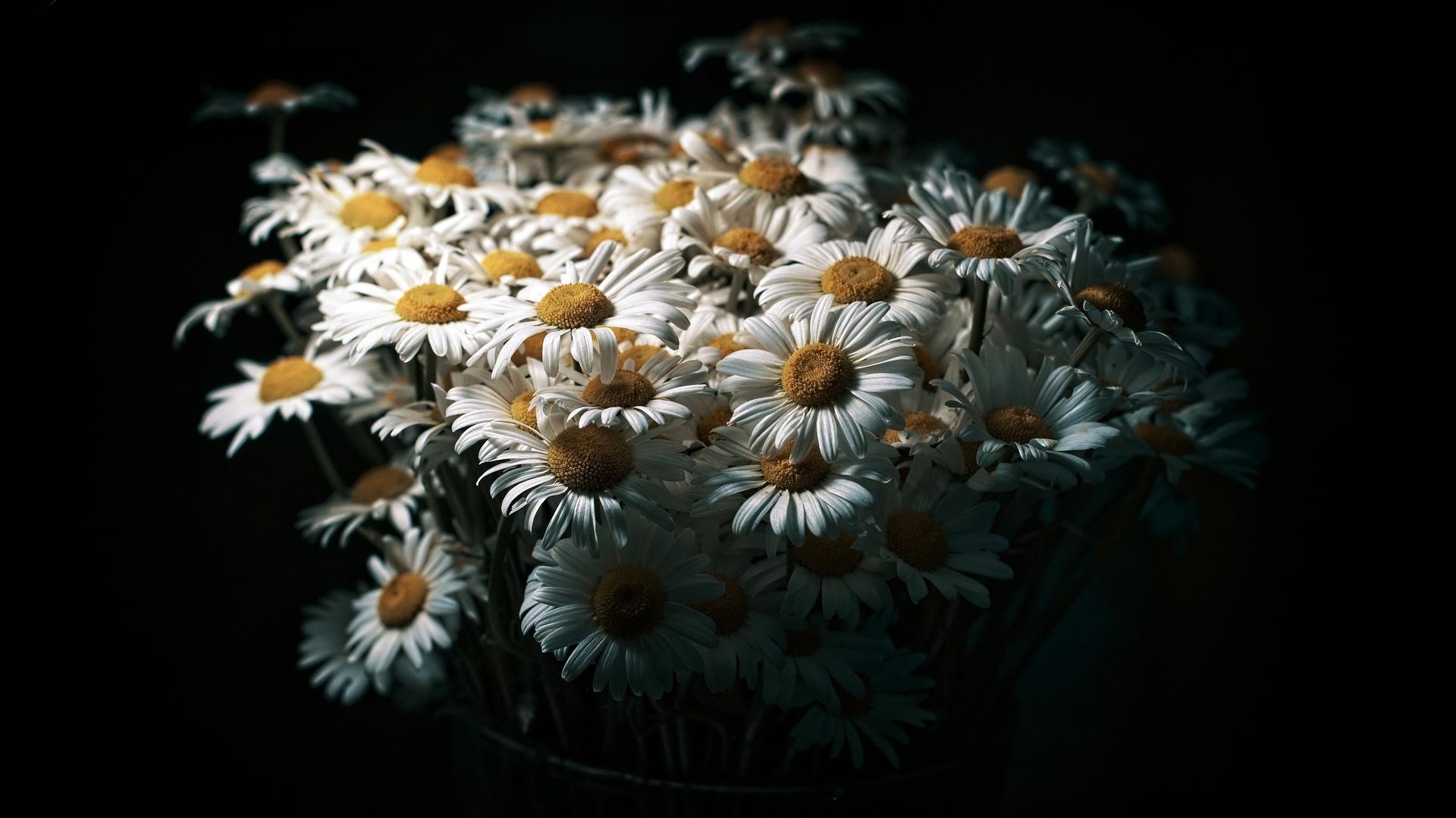 ромашки, букет, Черный, фон, цветы