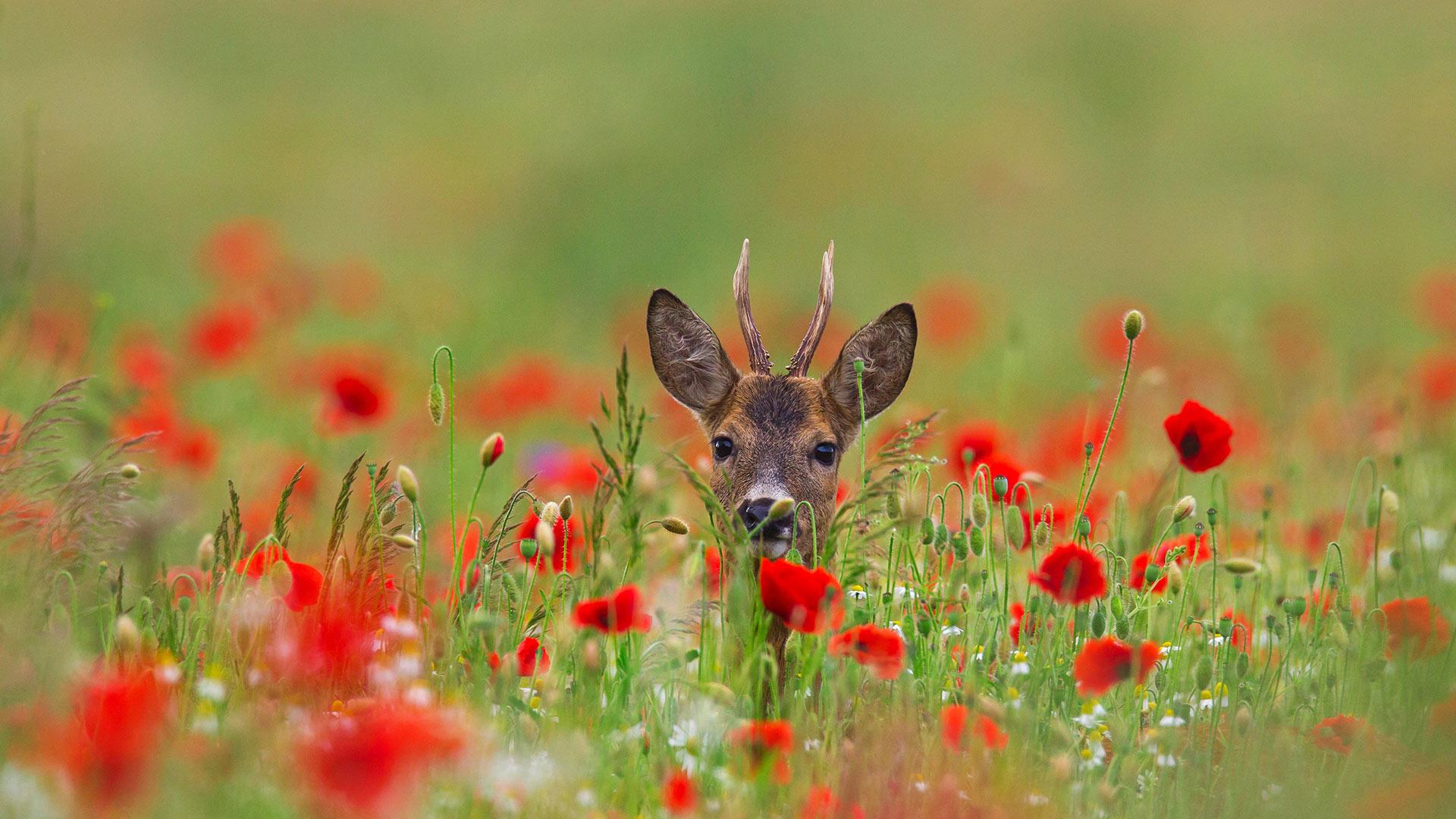 природа, животное, олень, голова, цветы, маки