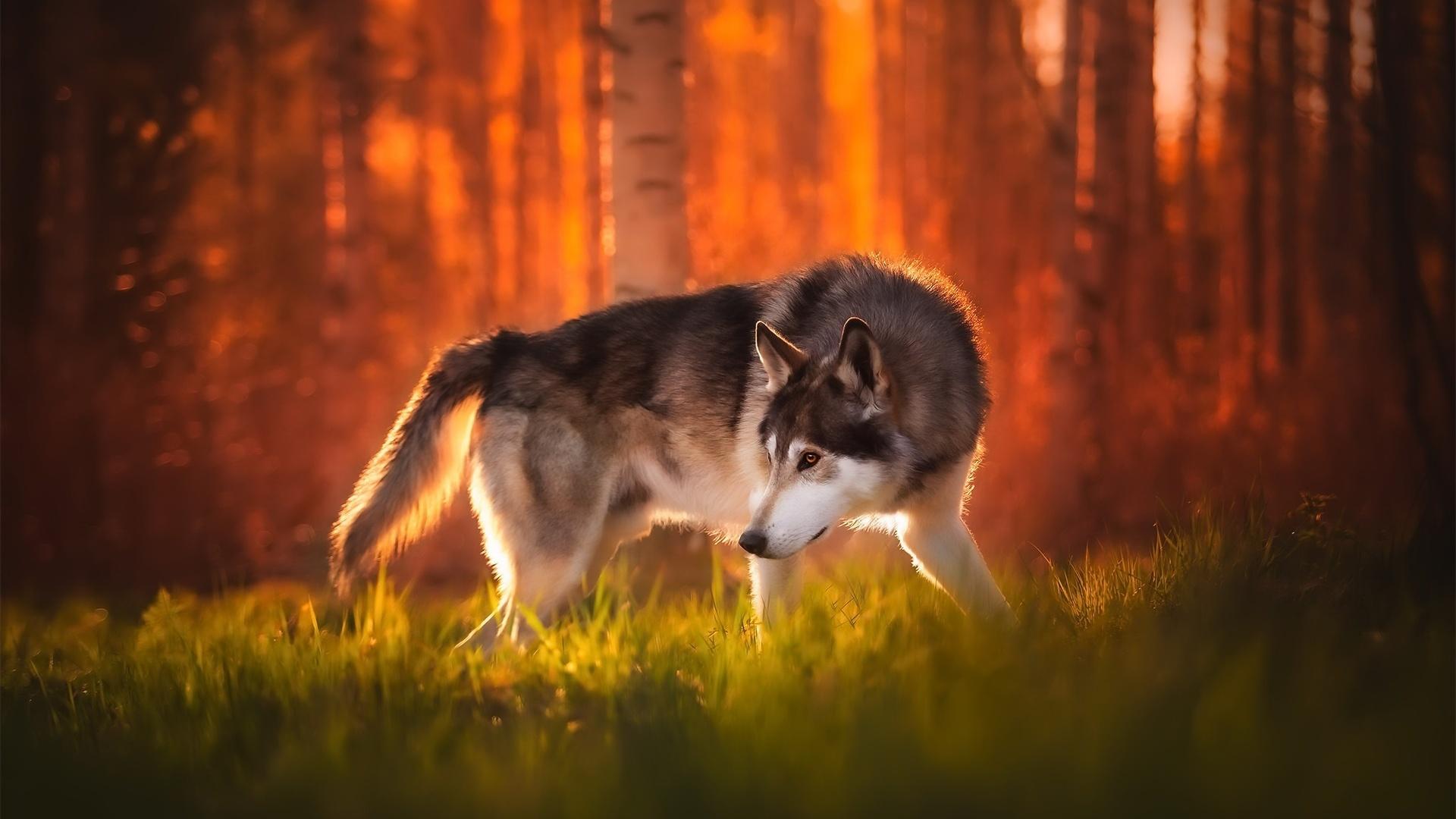 siberian husky, autumn, pets, cute animals, bokeh, forest, husky, cute dog, dogs, siberian husky