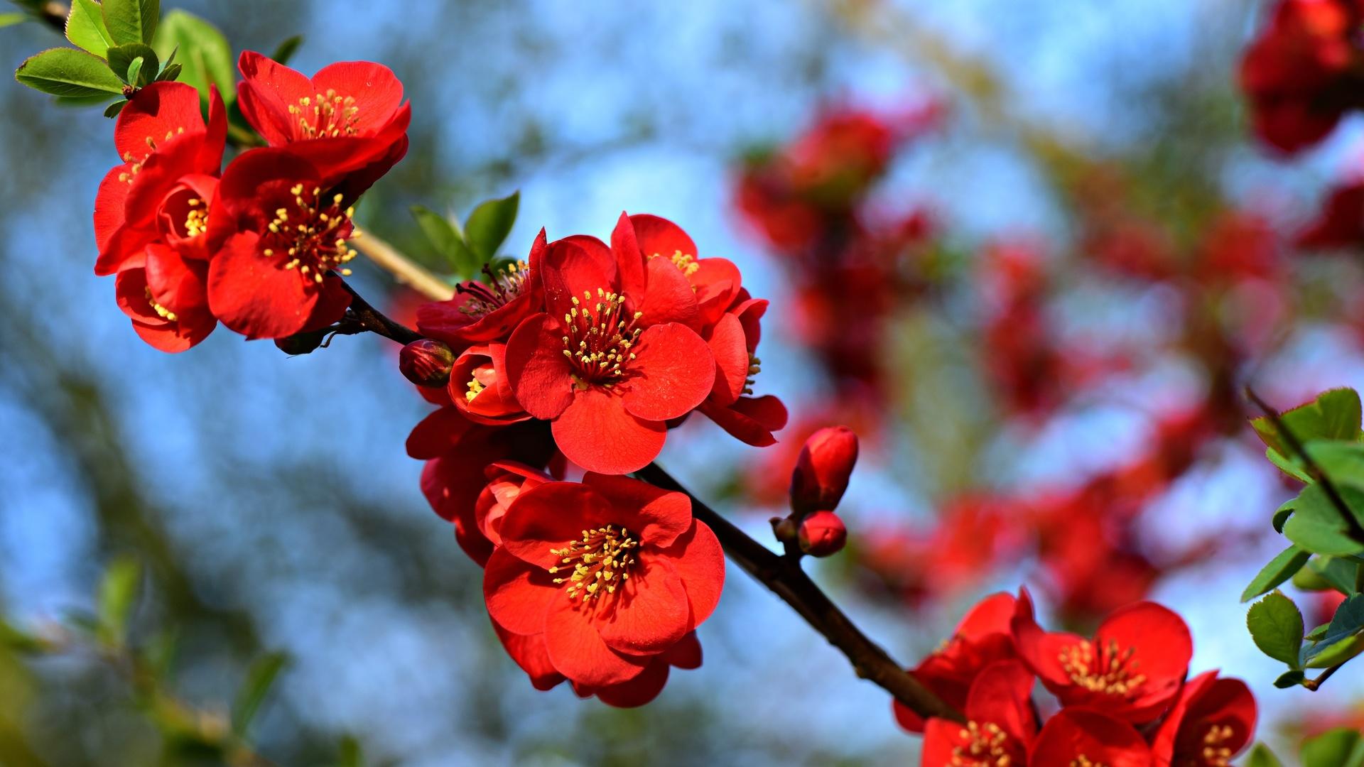 айва, веточка, цветок, цветение, весна