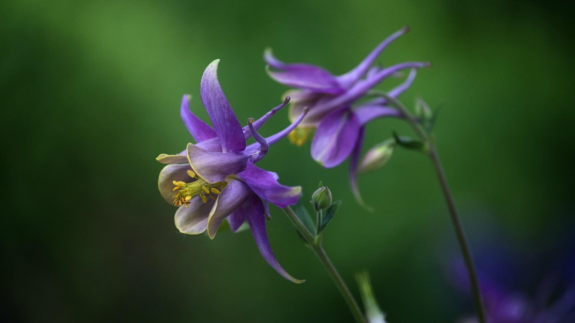 columbine aquilegia, размытый фон, фиолетовый, цветы