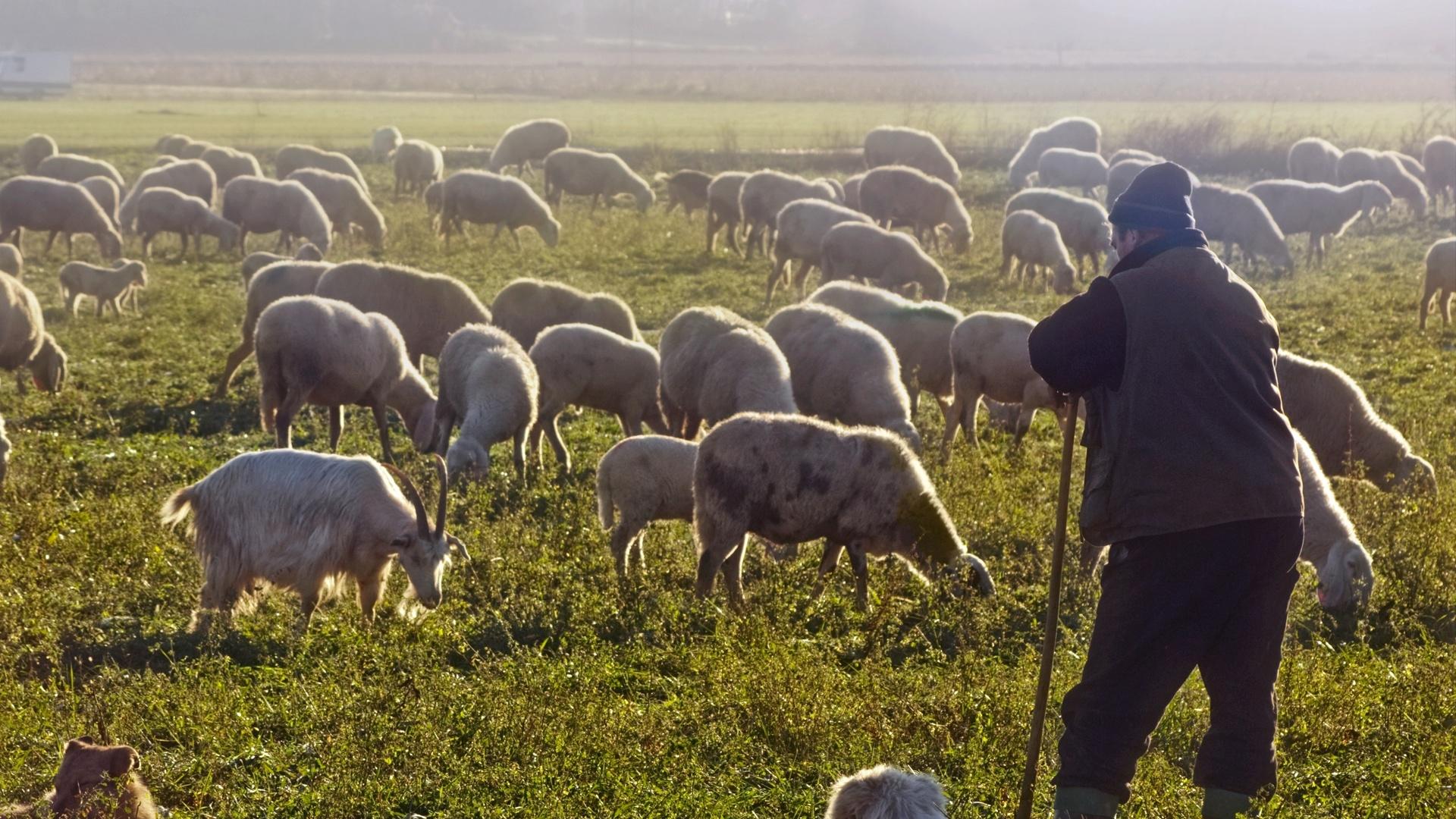 стадо, утро, пастух