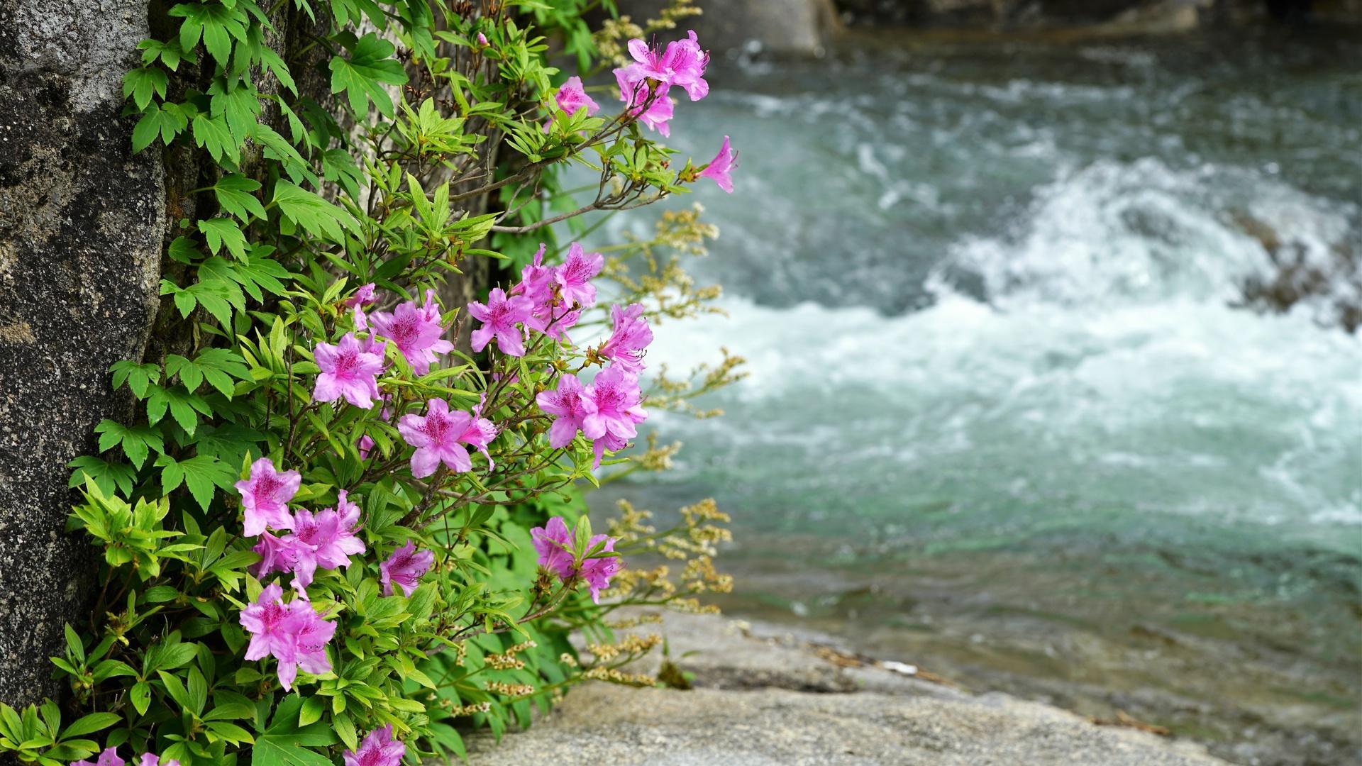 цветы, азалия, вода, лето