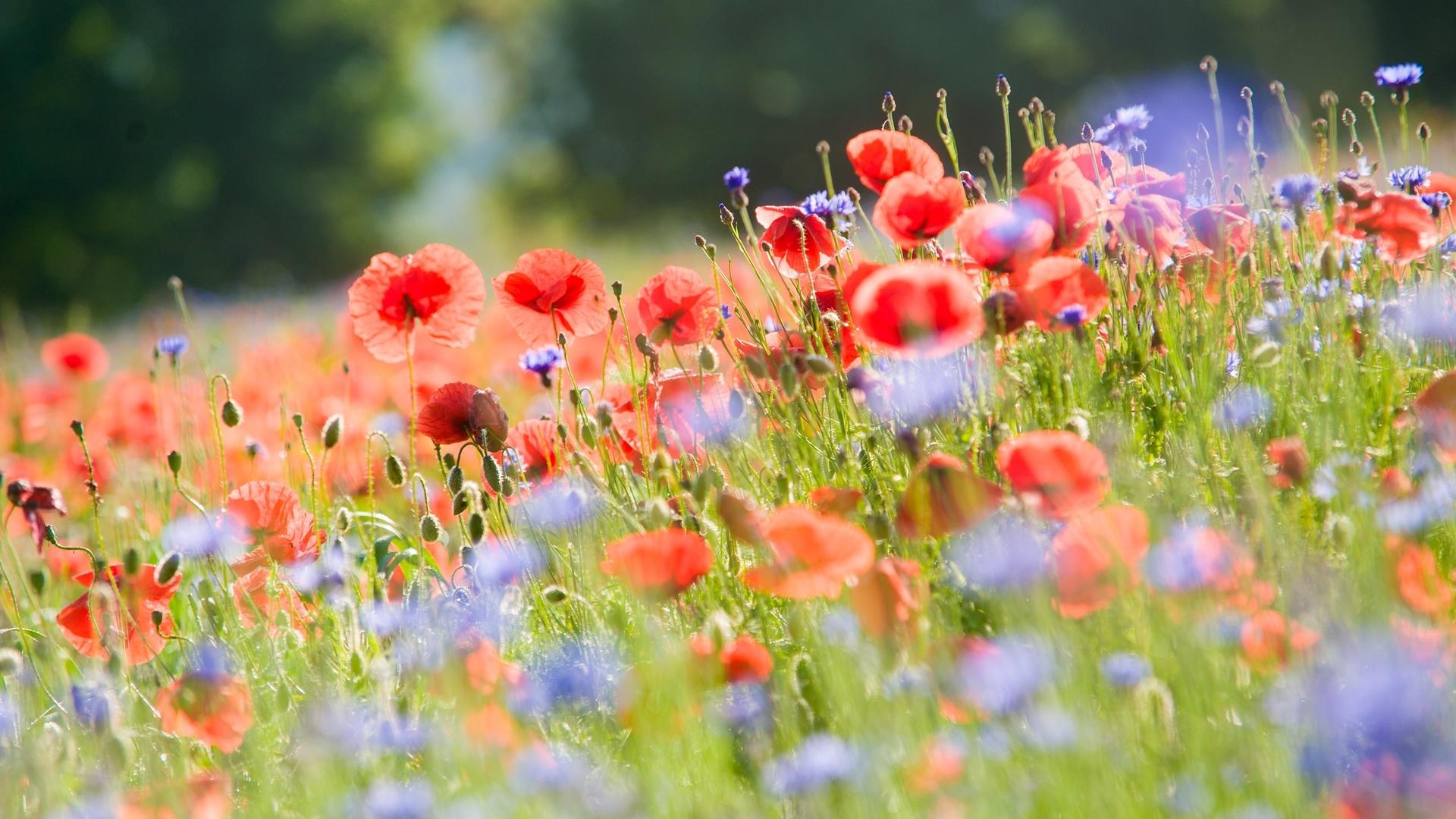 луг, цветы, маки