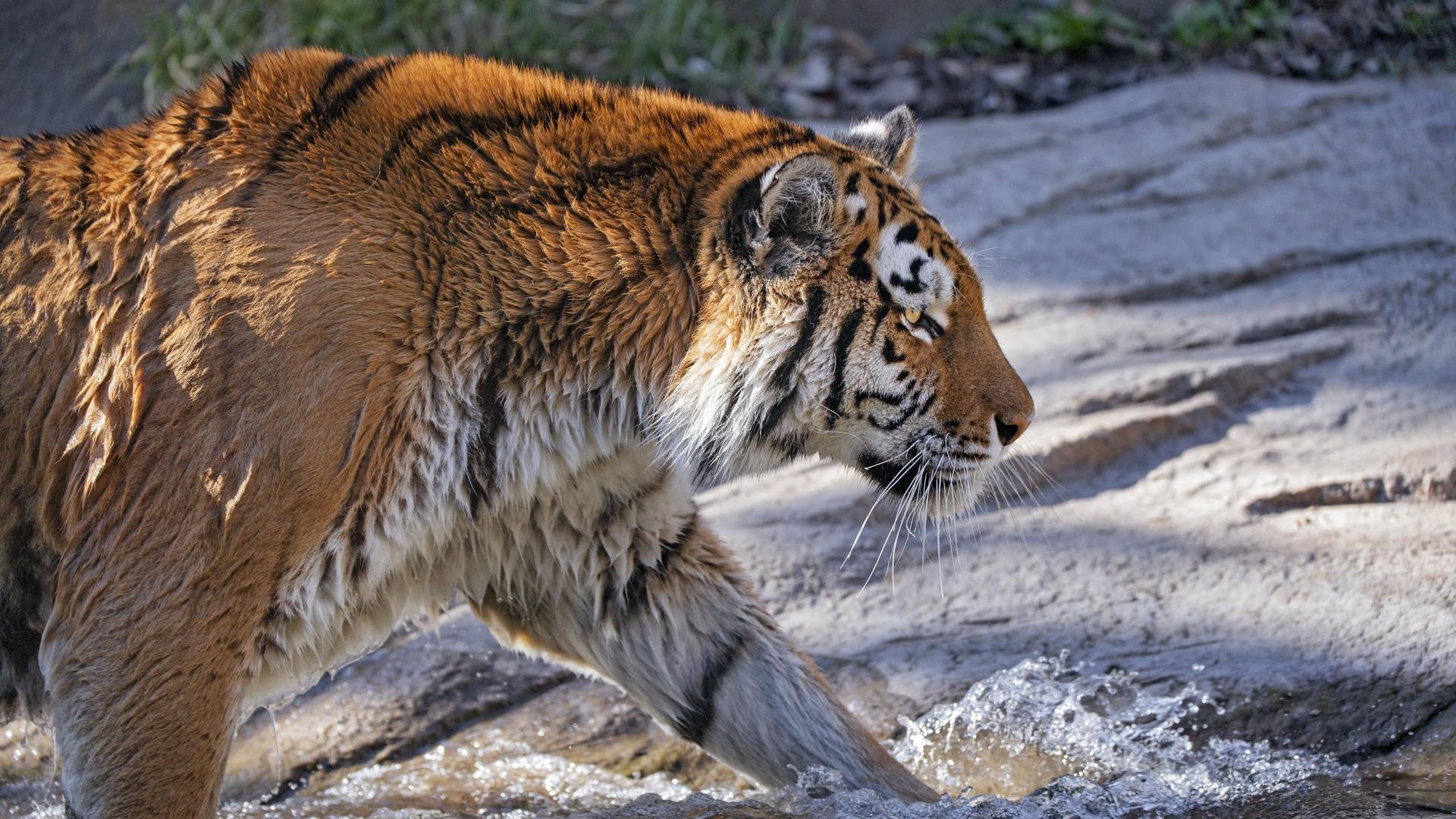 тигр, хищник, большая кошка, профиль