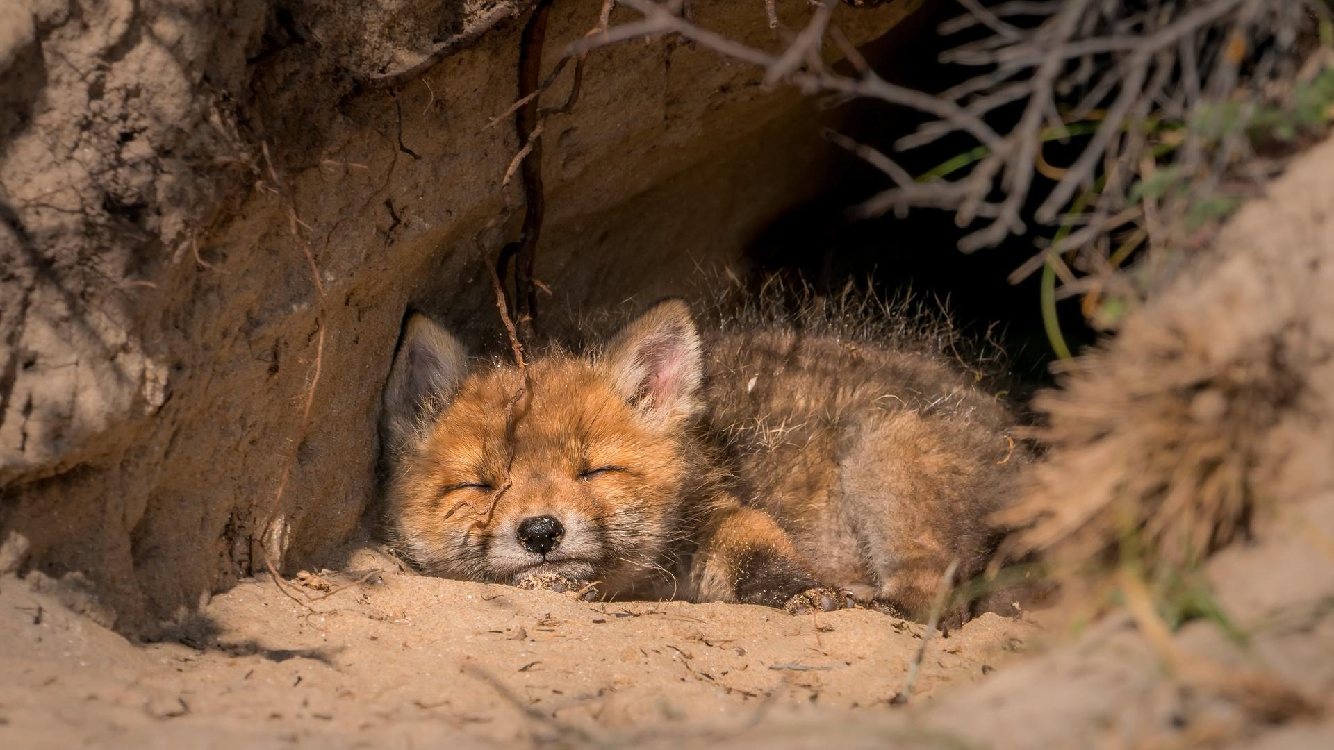 маленький, рыжий, лисенок, спит