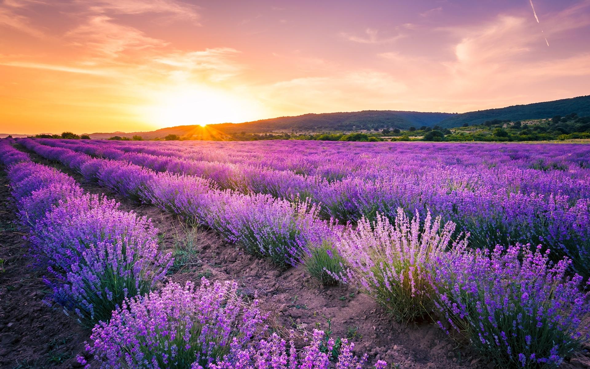лаванда, поле, рассвет