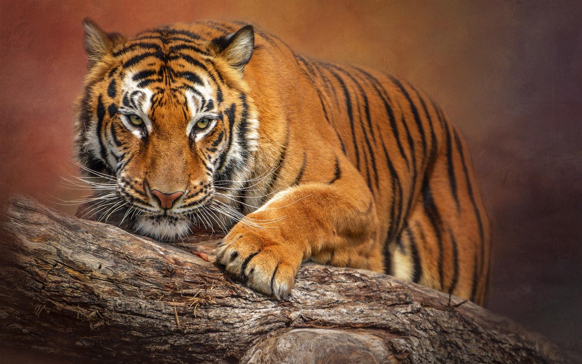 тигр, лапы, усы, вибриссы, взгляд, размытый фон, животные