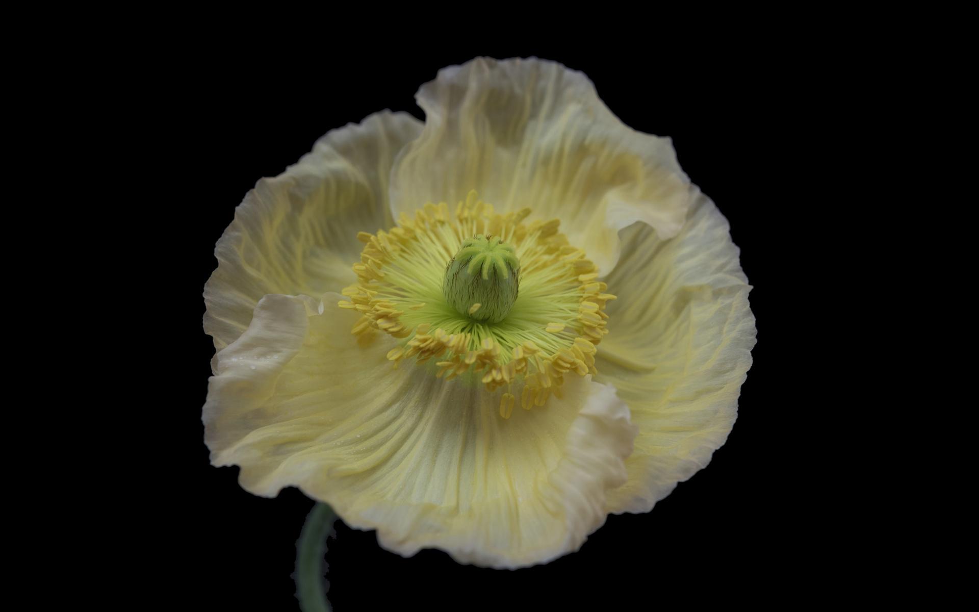 цветок, вблизи, мак