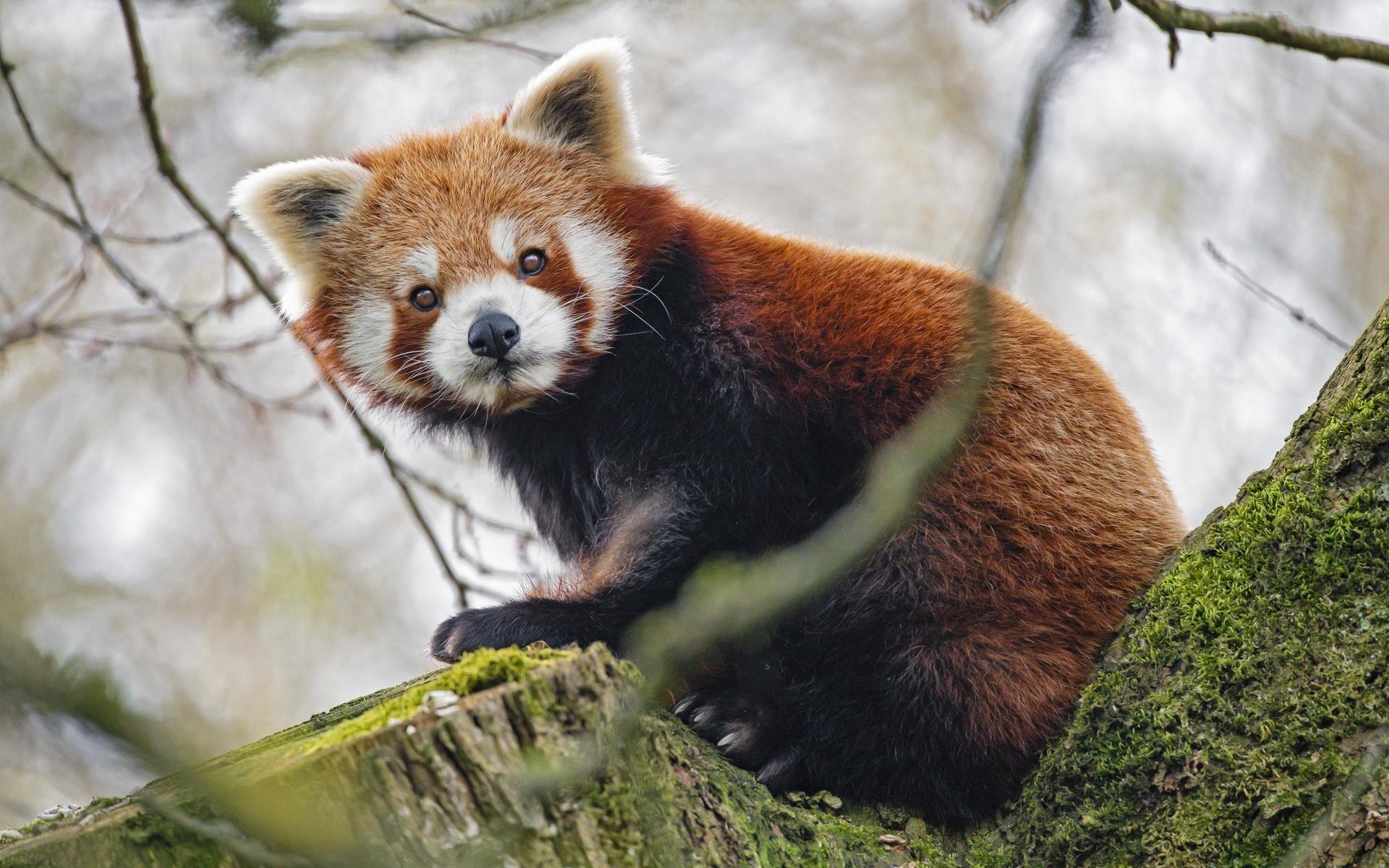 красная панда, панда, взгляд, животное