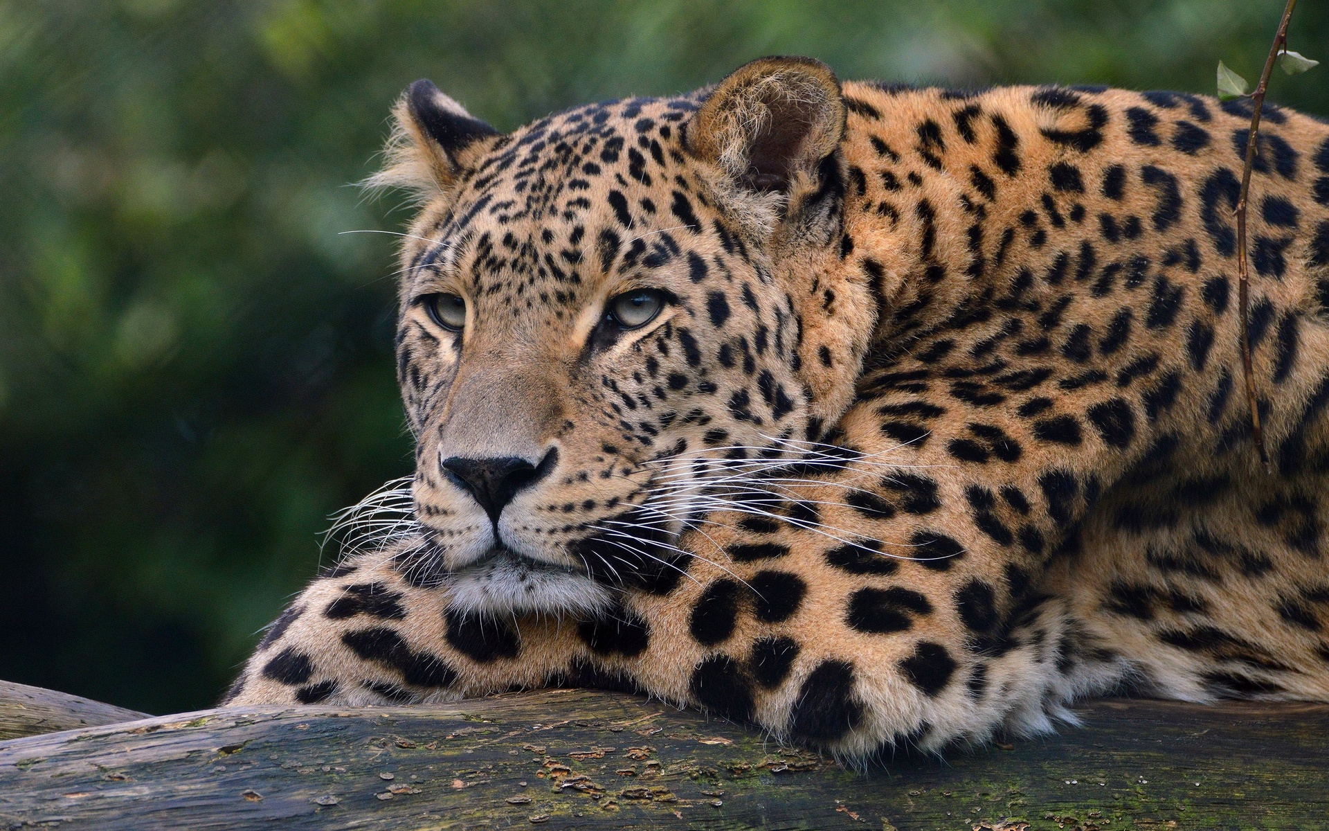 leopard, predator