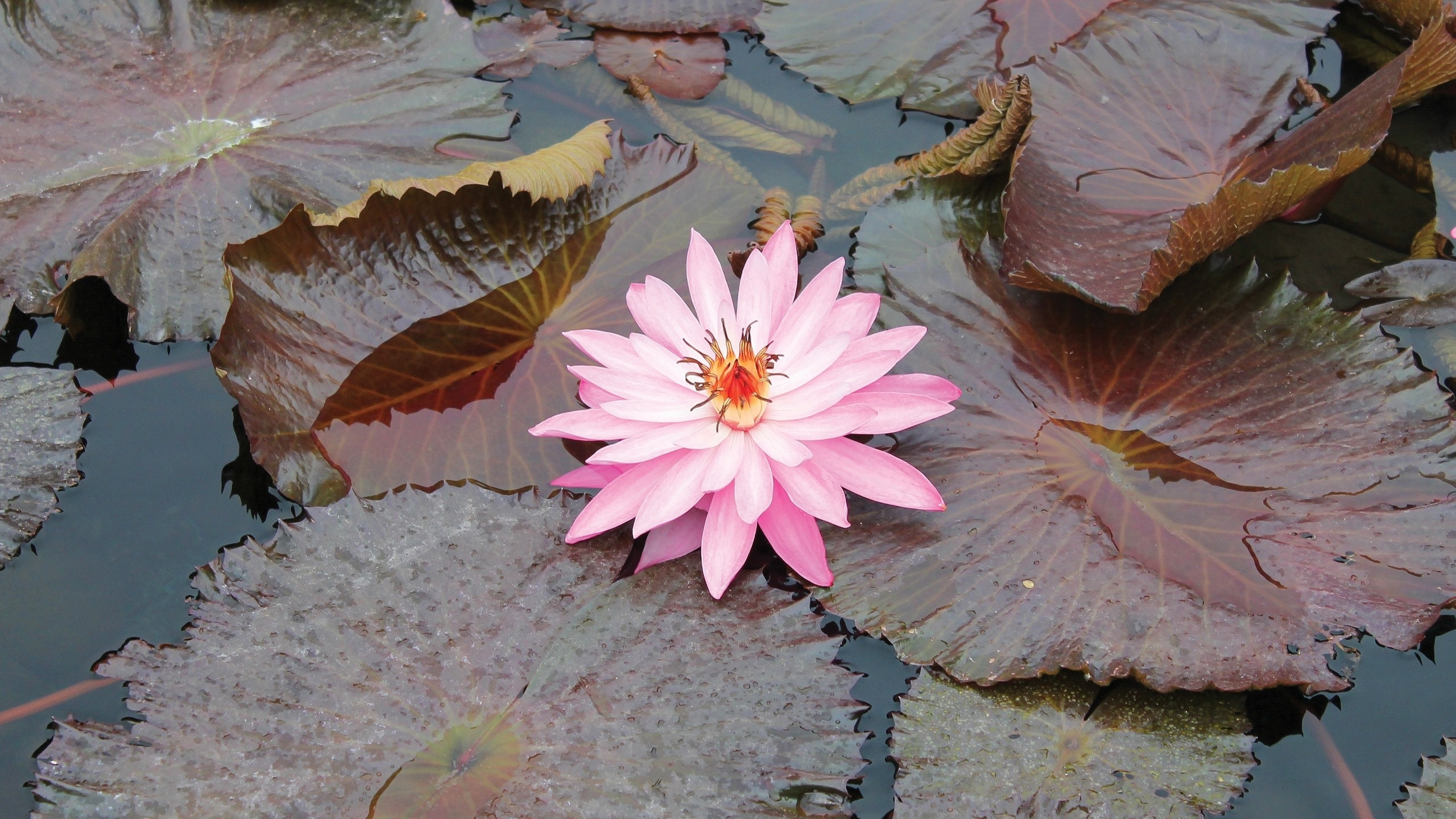 розовая, кувшинка, лепестки, листья, пруд