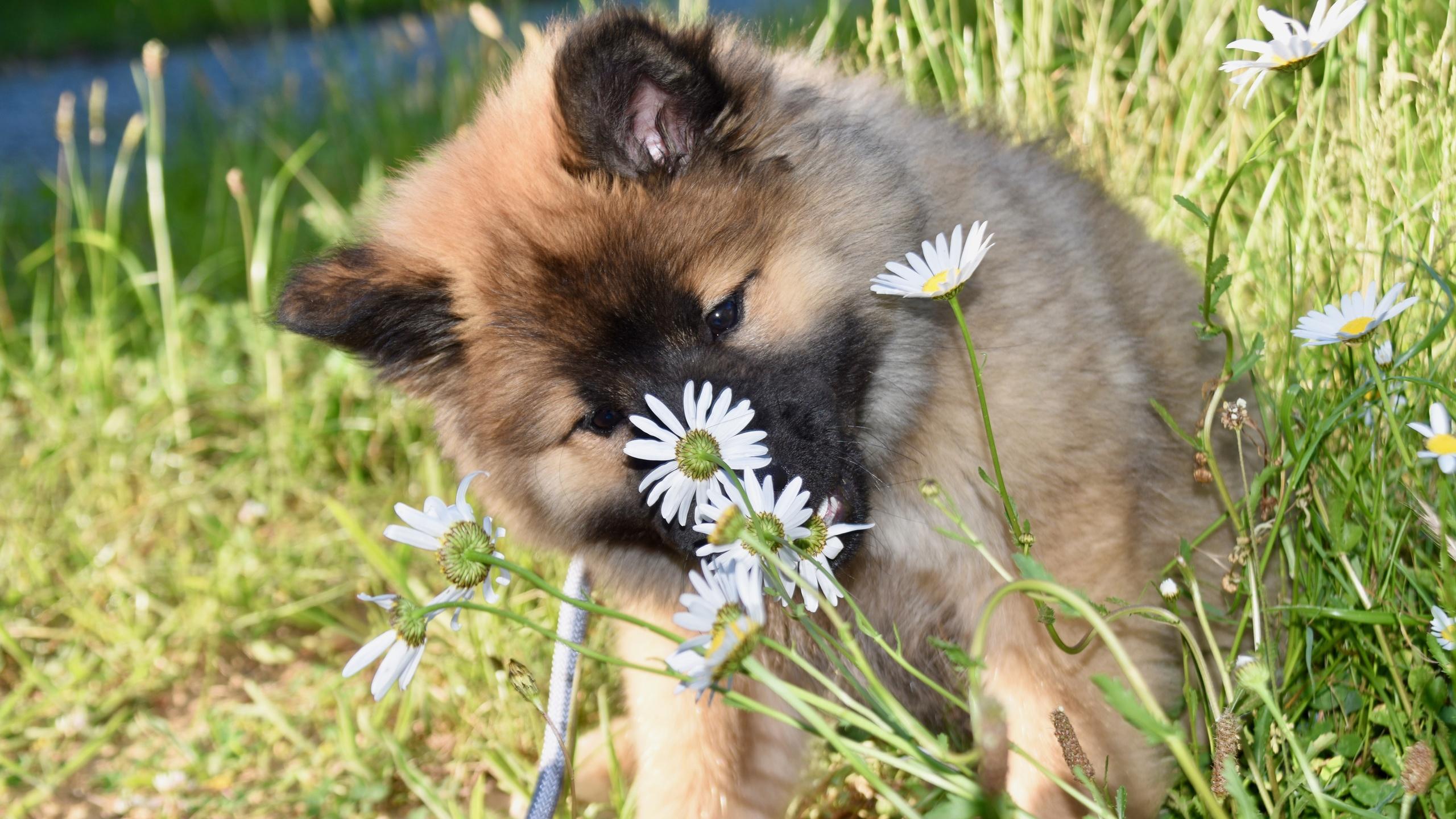 собаки, щенок, ромашки, eurasier
