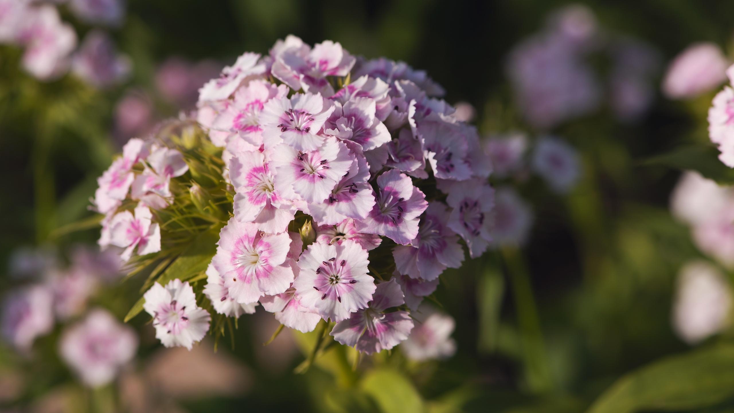 розовые, цветы, гвоздика