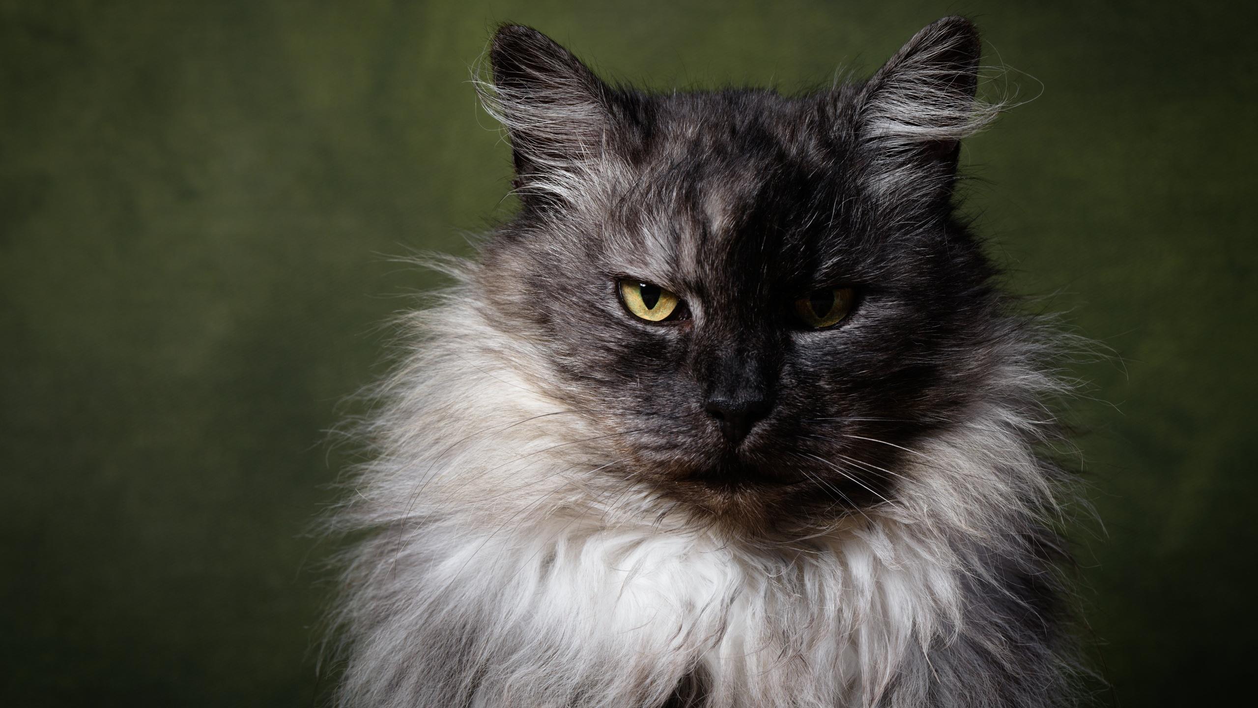 пушистый, кот