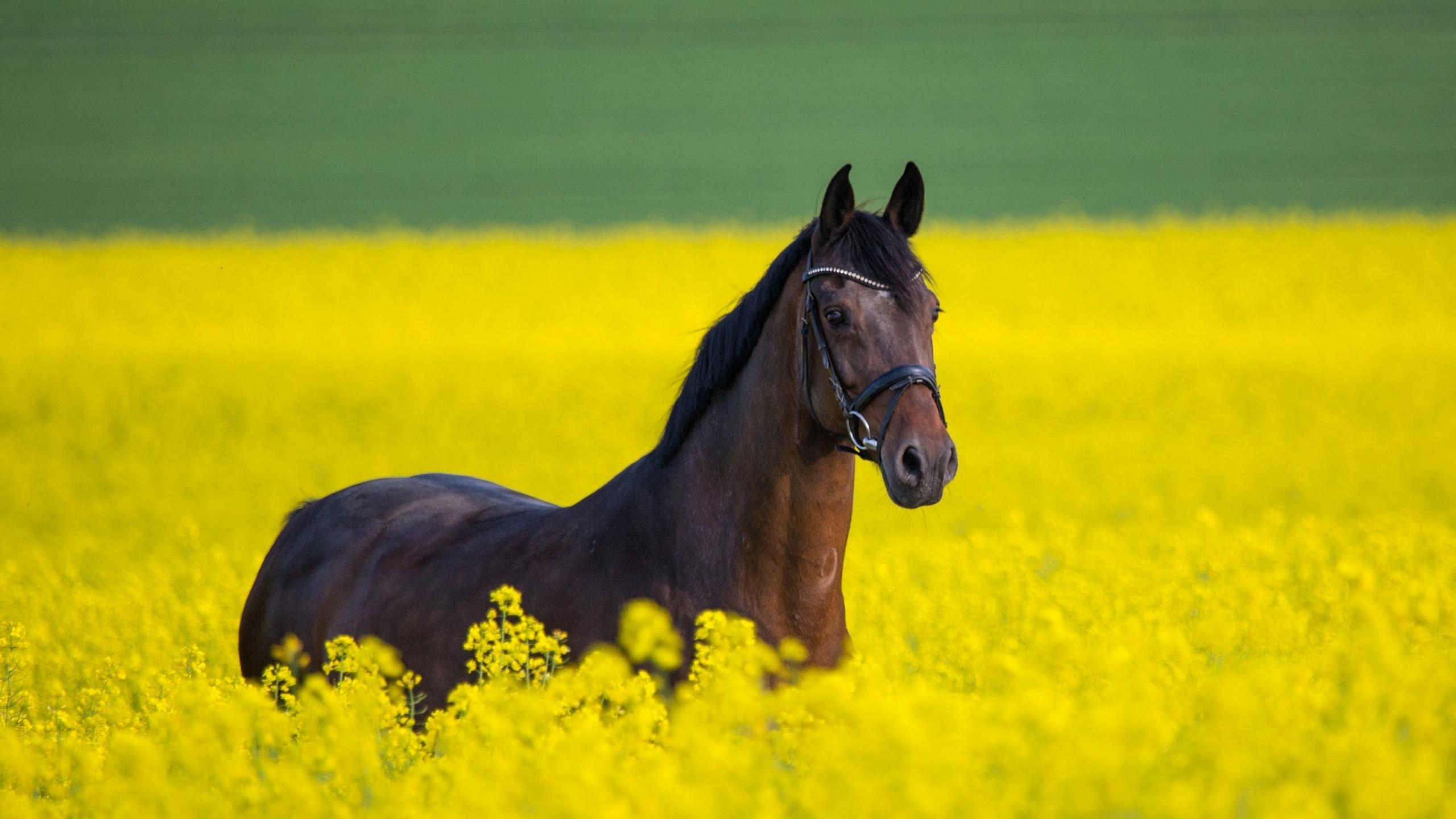 поле, рапс, лошади