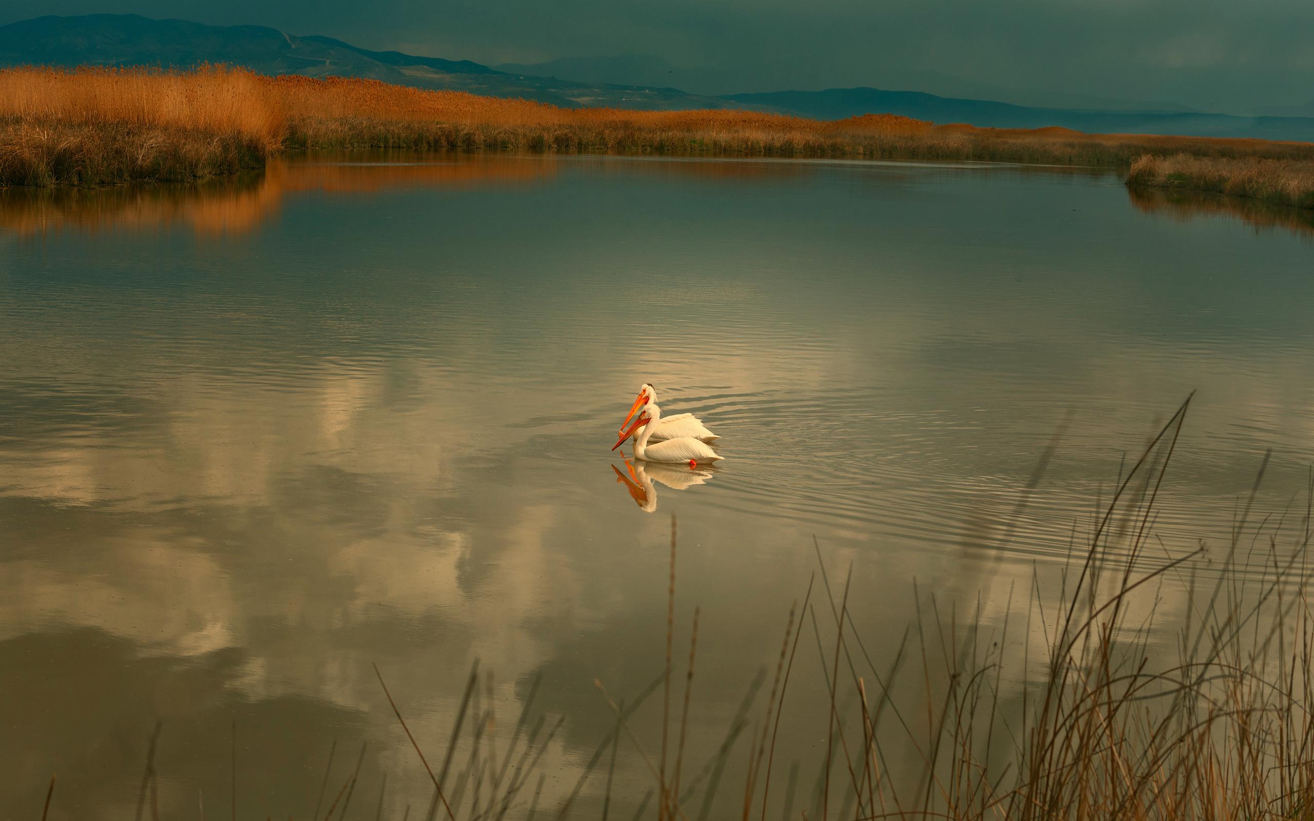 пейзаж, озеро, пеликаны