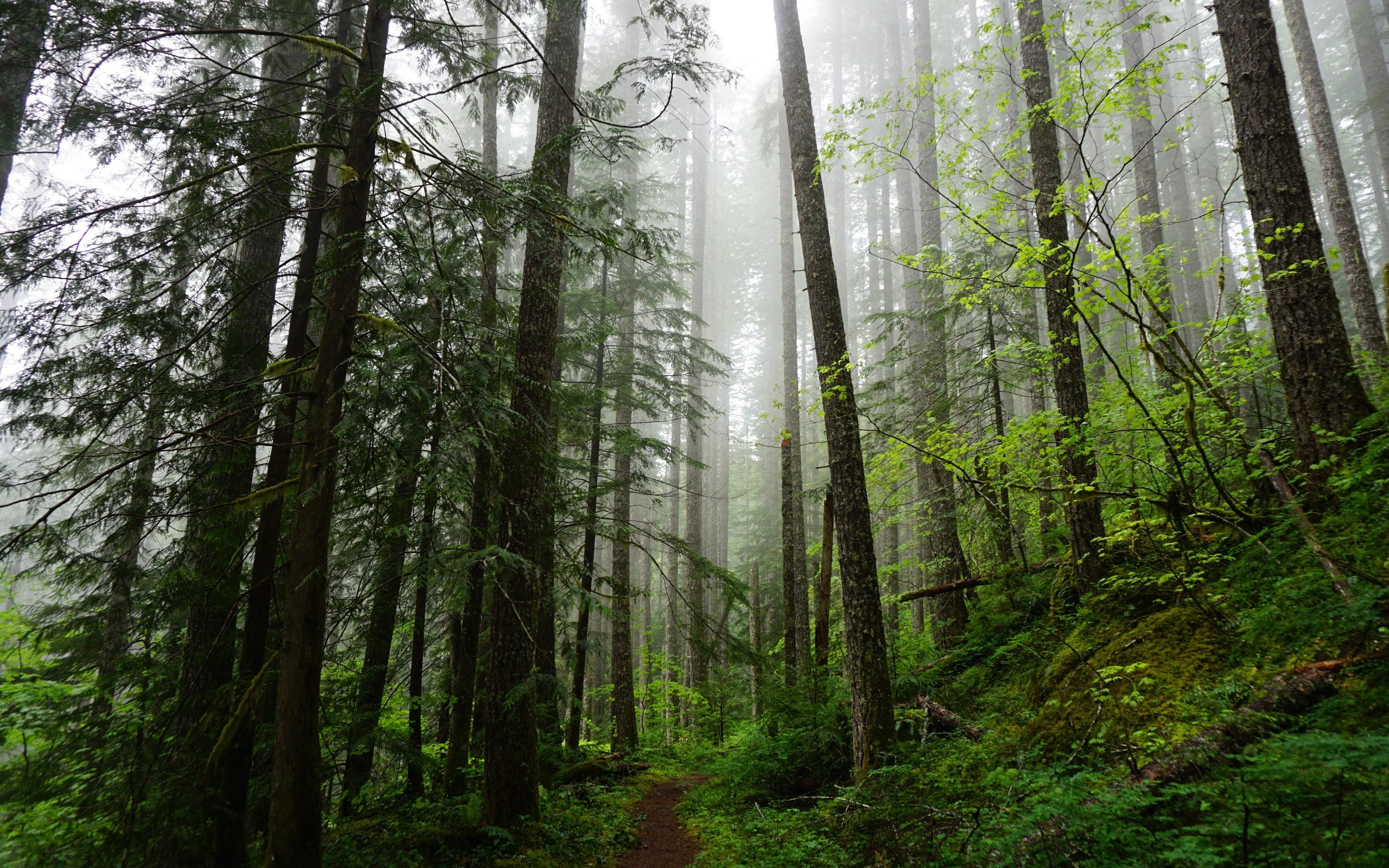 лес, деревья, ель, тропинка
