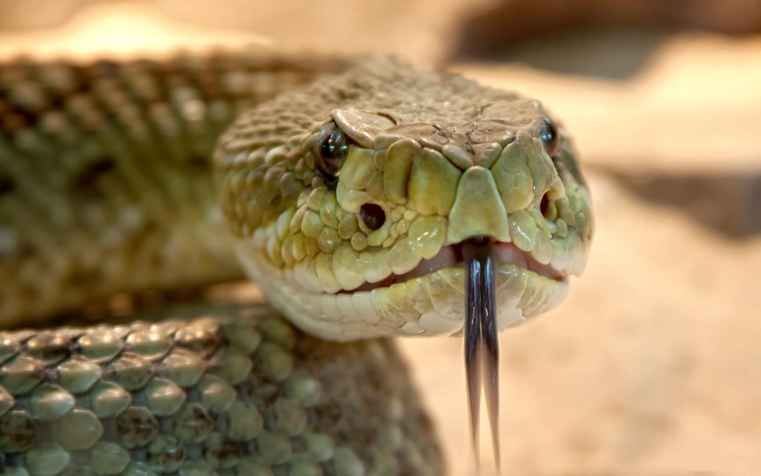 змея, размытый фон, голова, Язык