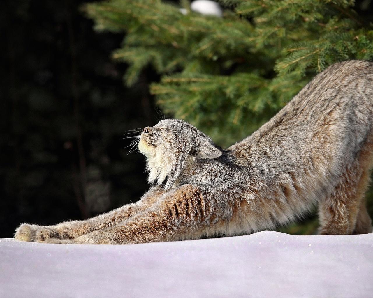 природа, зима, снег, ветки, хвоя, животное, хищник, рысь, потягуши