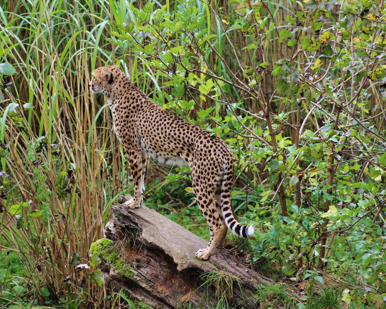 леопард, большая кошка, пятна, хищник