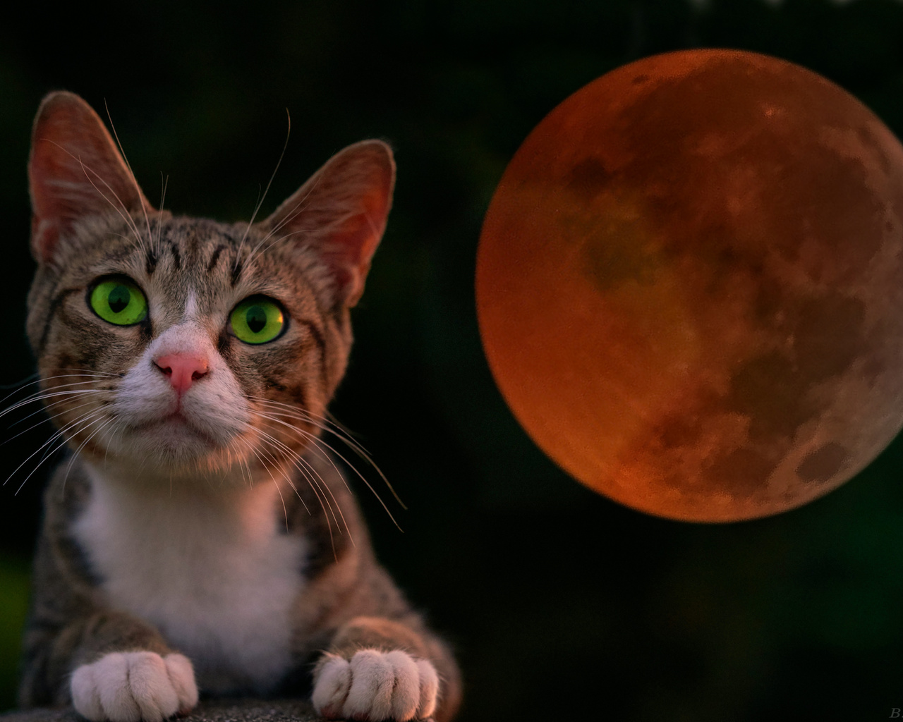 котенок, ночь, луна