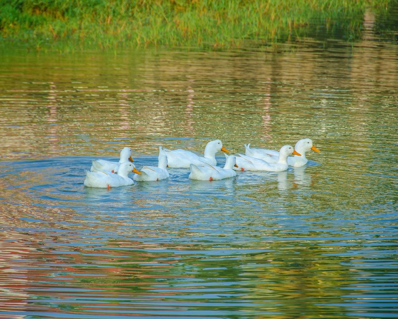 утки, пруд, рябь, лето