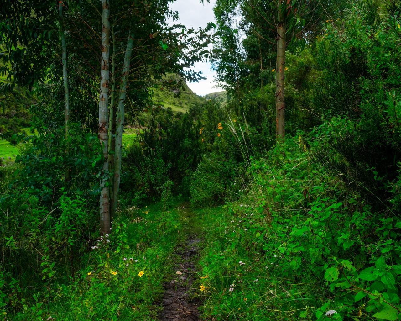 лес, тропинка, цветы