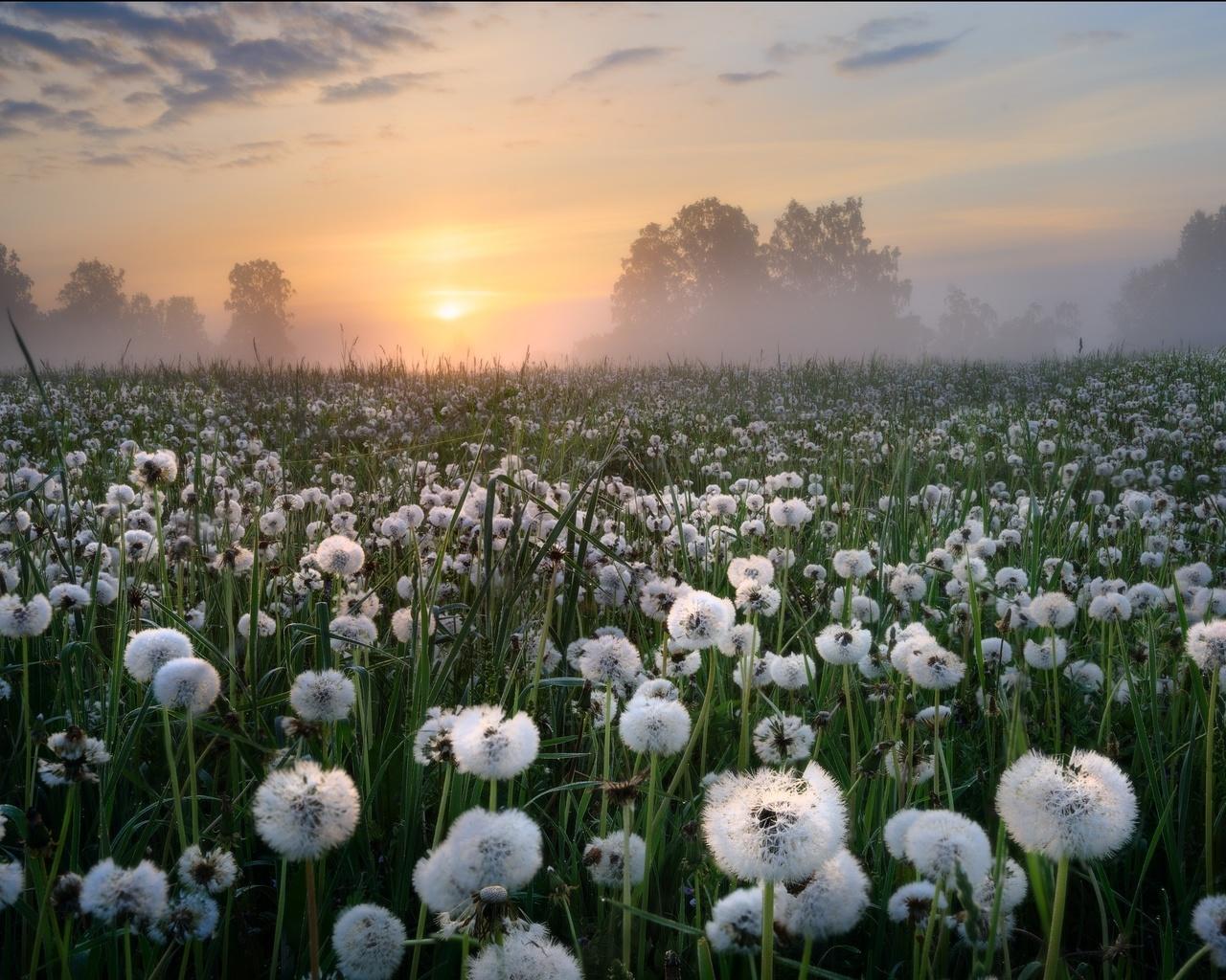 природа, поле, травы, одуванчики, туман, утро, рассвет