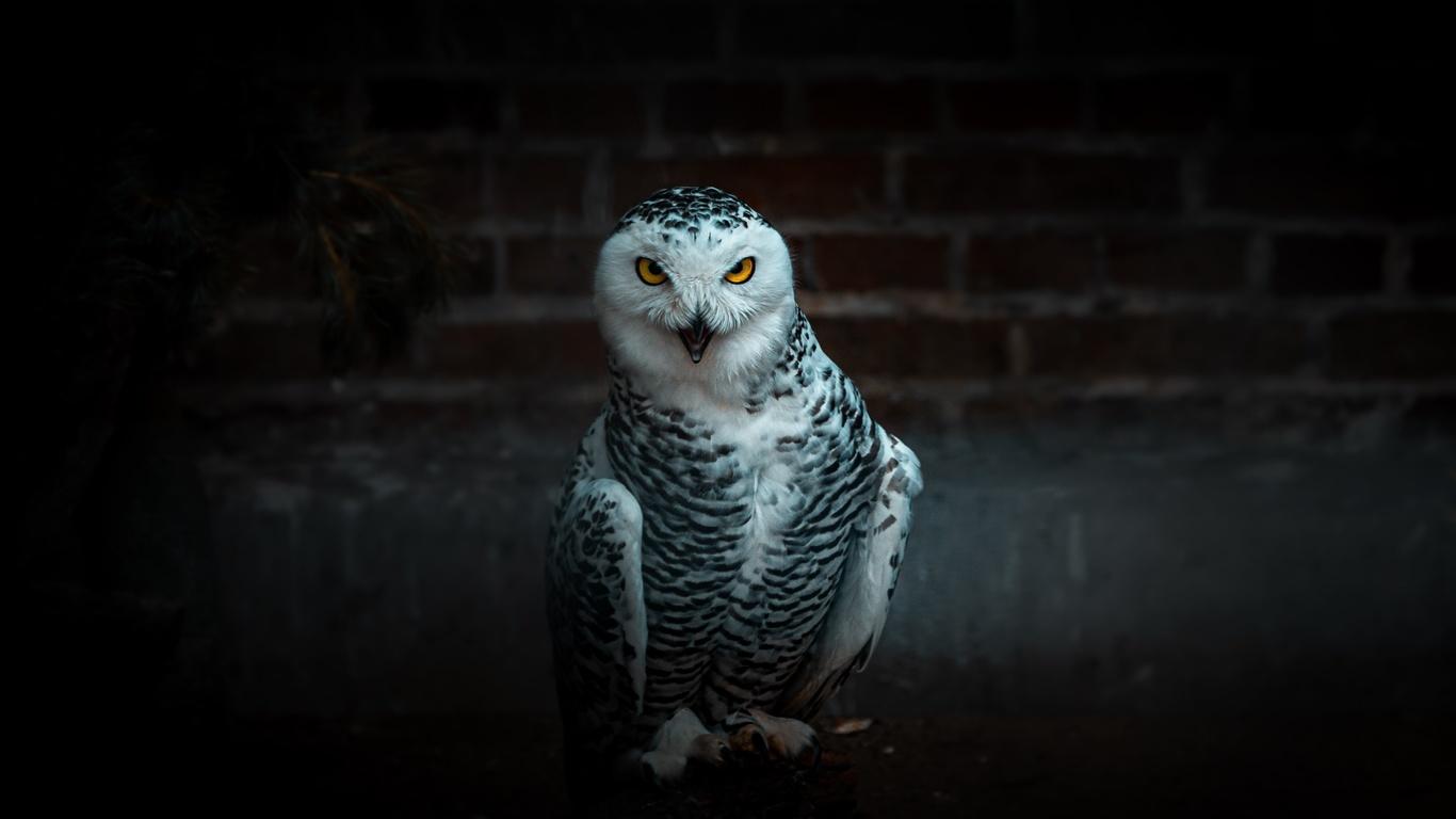 сова, птица, хищник