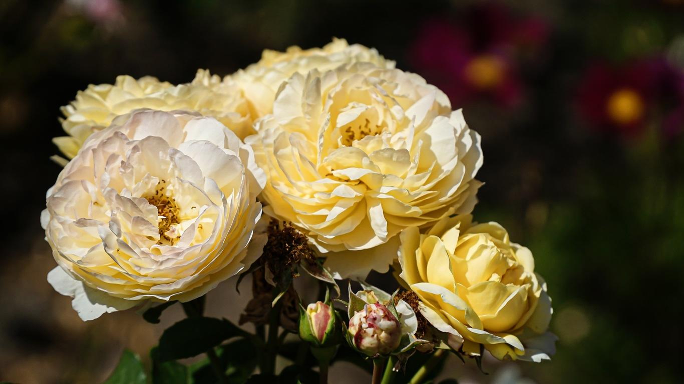 розы, куст, фон, боке
