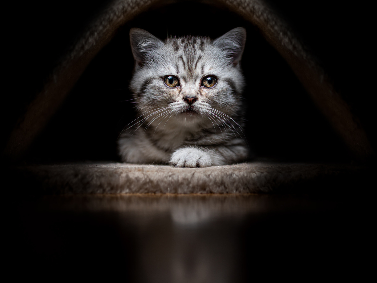 котенок, кошка, мордочка, взгляд, черный, фон