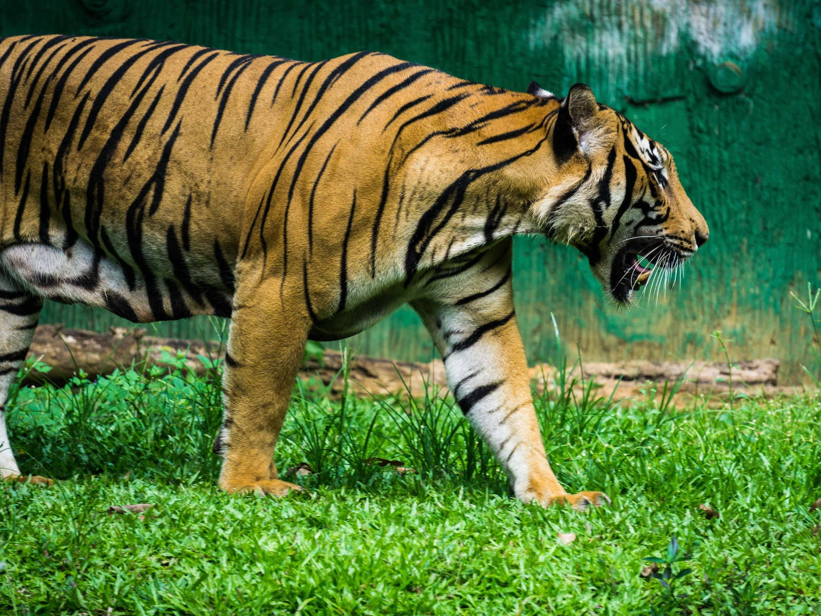 тигр, клыки, трава, животные