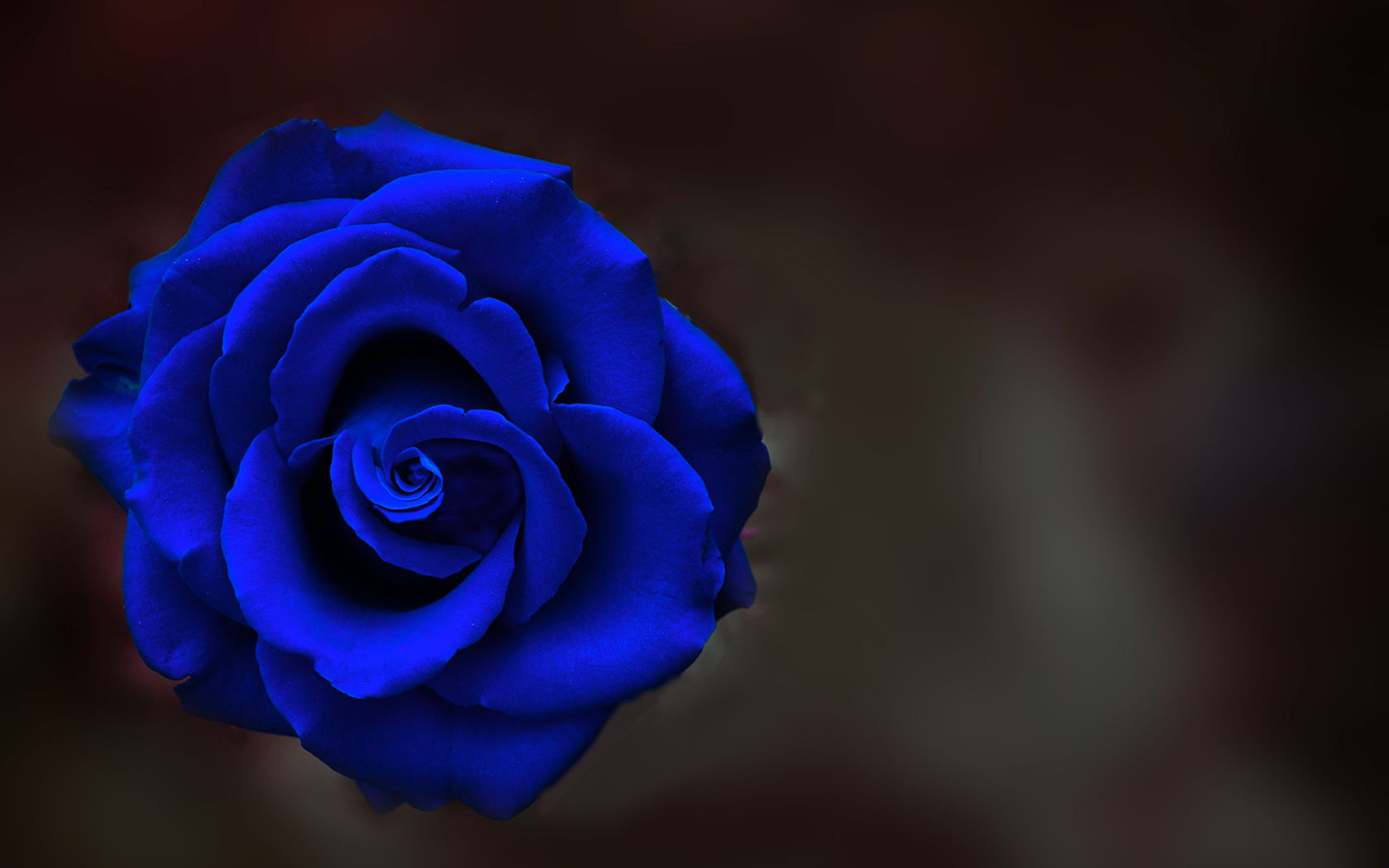 ночь, роза, цвет