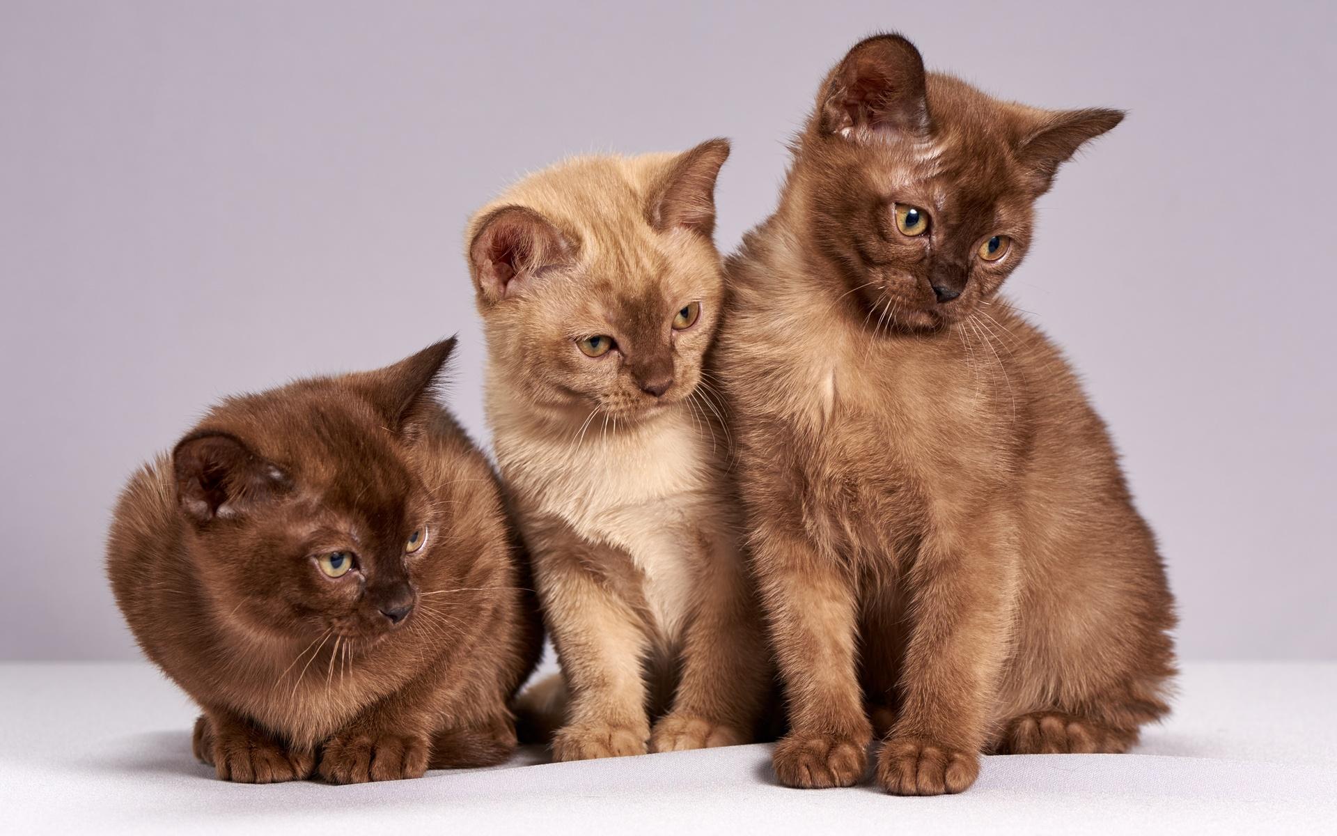 трое, коричневый, кошки