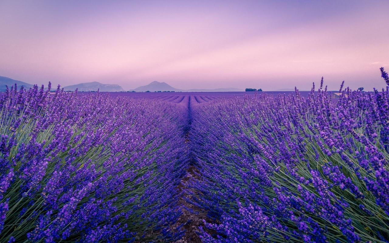 лаванда, поле, цветы, цветение, горизонт, даль