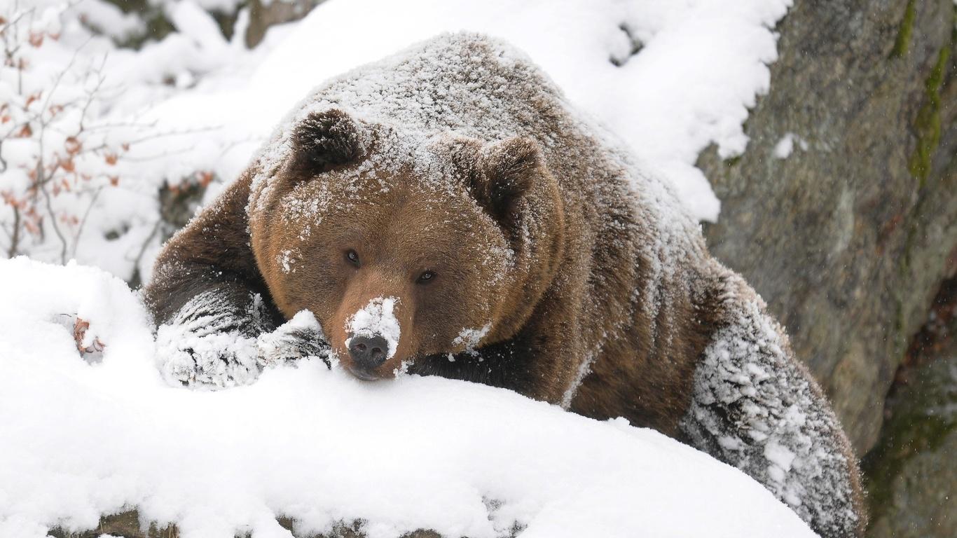 медведь, взгляд, снег, зима